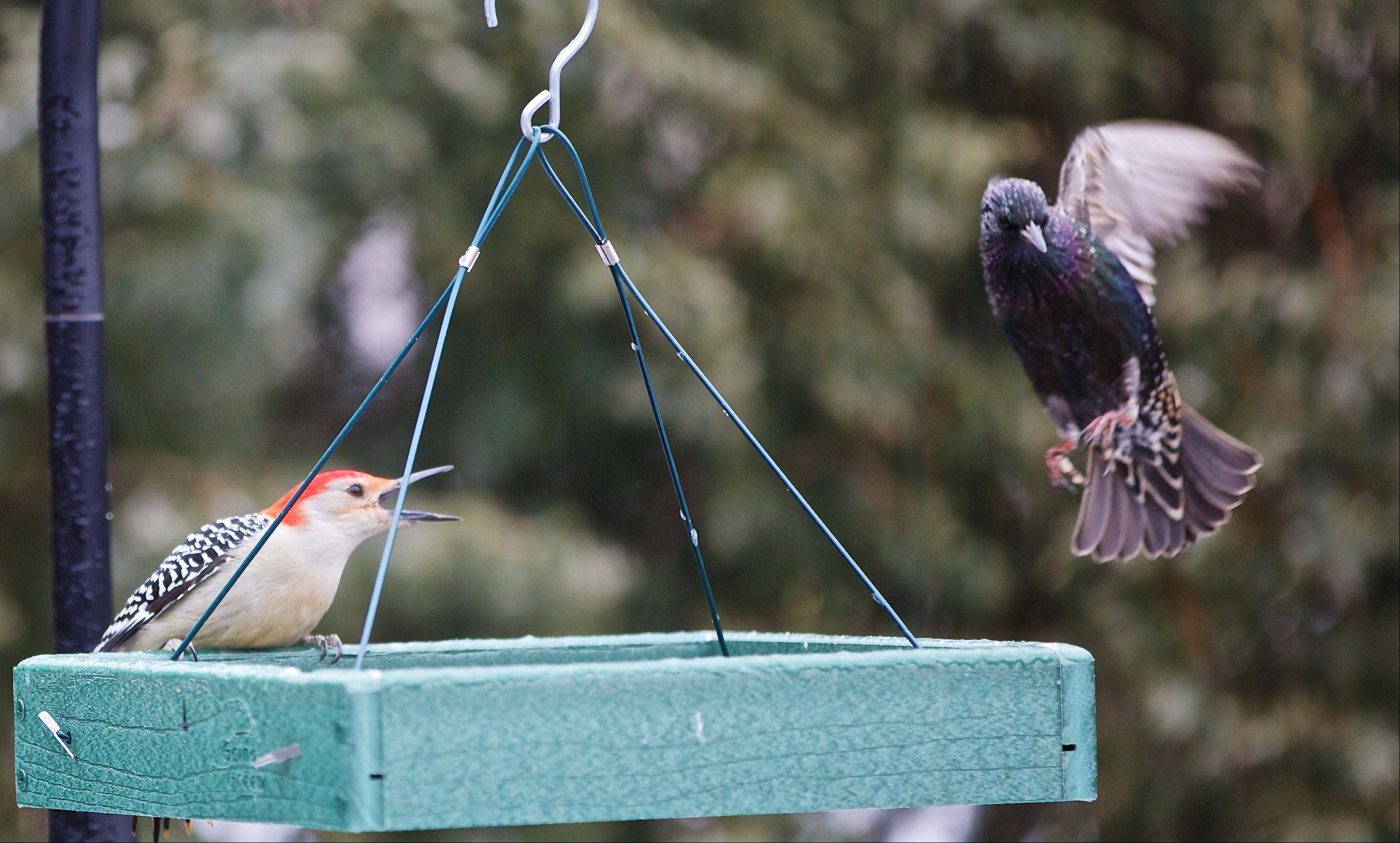 A Red Bellied Woodpecker and a Starling play on a feeder in an Ingleside backyard last week.