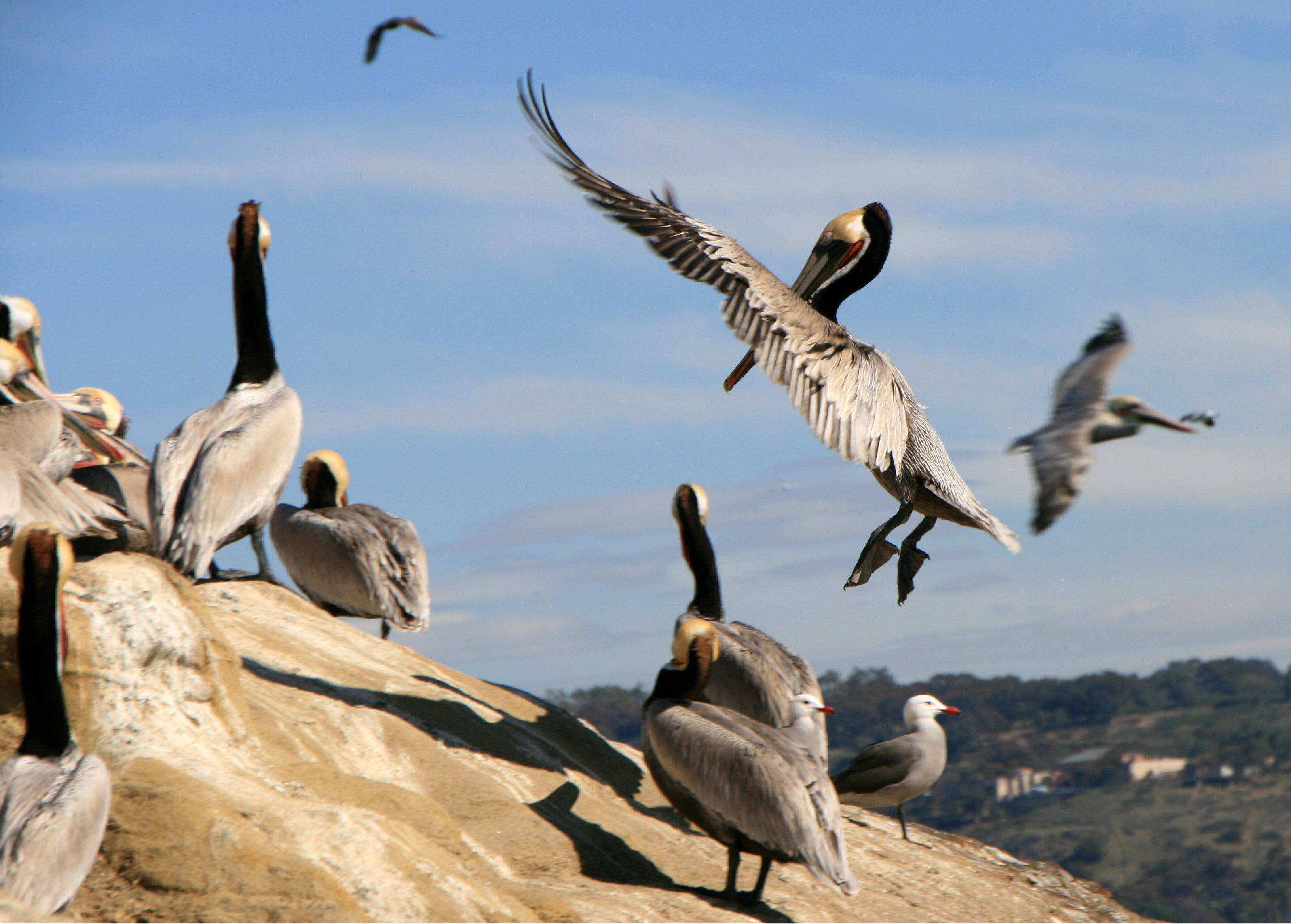 This photo was taken last year in La Hoya, California where hundreds of brown pelicans fished along the shoreline. The constant comings and goings was just a wonderful sight.