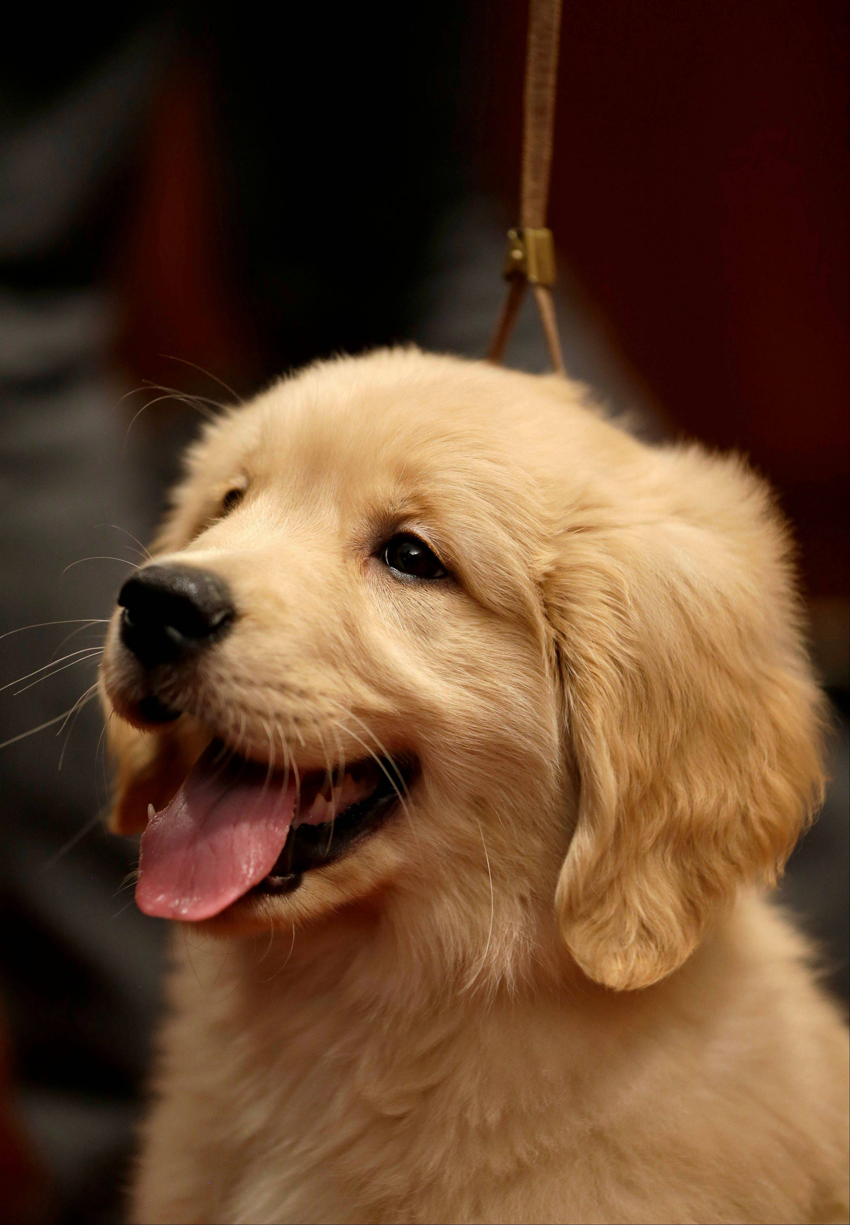 A golden retriever puppy named Gibbs attends a news conference at the American Kennel Club in New York. The club announced their list of the most popular dog breeds in 2012, where the golden retriever remains one of the top five most popular dogs.