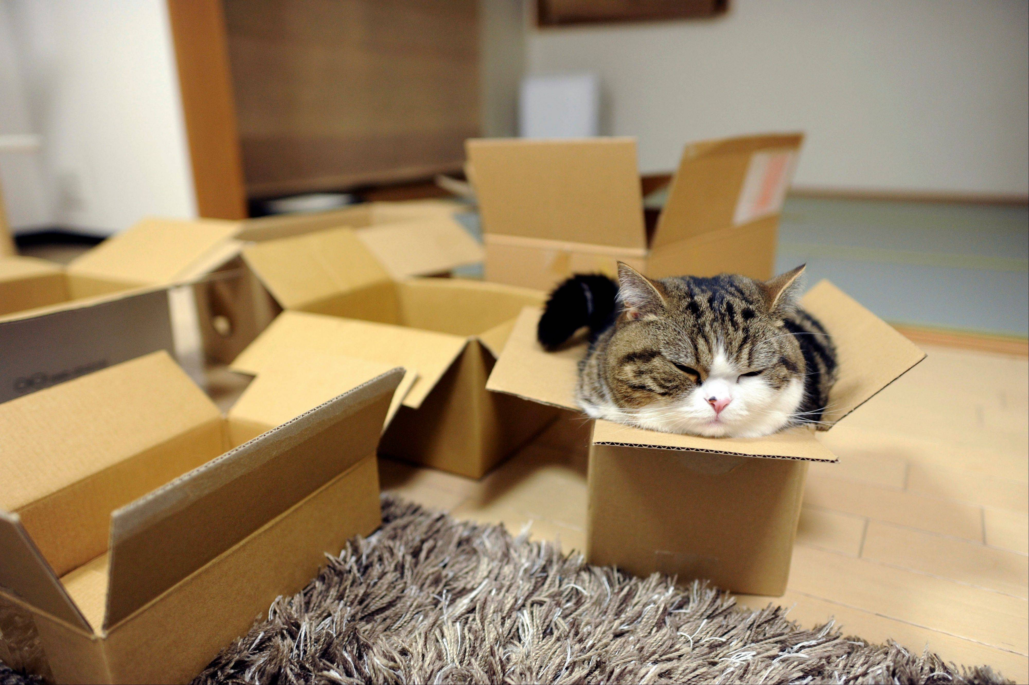 Scottish fold Maru rests in a cardboard box in Japan. After years of viral YouTube viewing and millions of shares, the cat stars of the Internet are coming into their own in lucrative and altruistic ways. Roly poly Maru, the megastar in Japan with millions of views for nearly 300 videos since 2007, has three books and a calendar, among other swag for sale.
