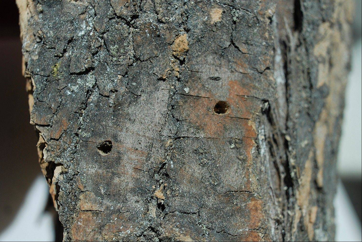 Keep emerald ash borer infestation in check by not transporting wood out of the quarantine zone. Pictured are exit wounds made by the emerald ash borer.