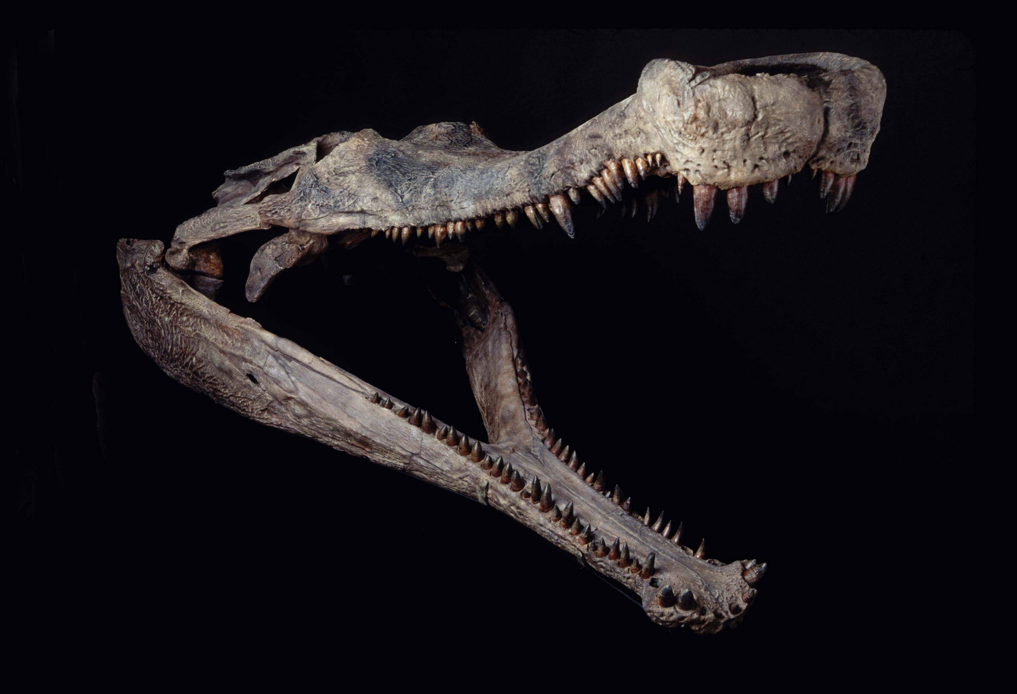 "A ""SuperCroc"" exhibit featuring 40-foot crocodiles that lived 110 million years ago is headed in early May to Gail Borden Public Library in Elgin. Here is the 6-foot skull of a Sarcosuchus found in 2000 in Niger."