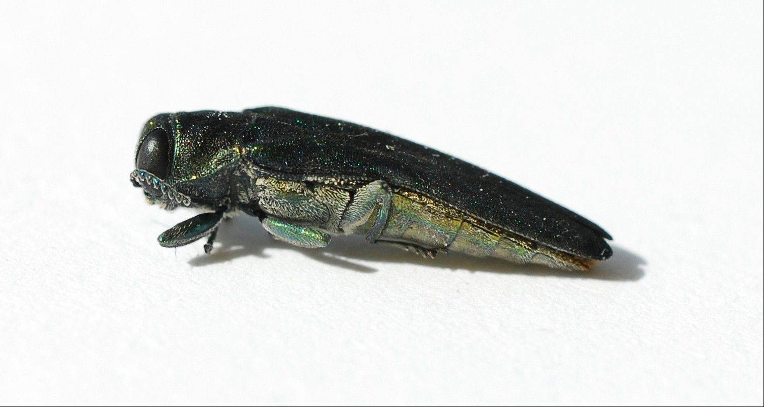 Emerald ash borer can cause devastation in ash wood populations.