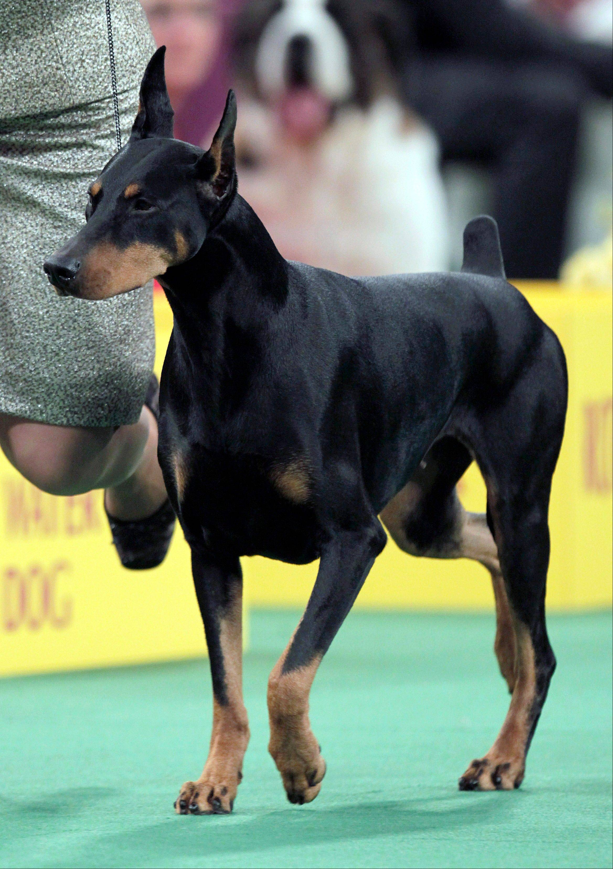 Protocol's Veni Vidi Vici, a Doberman pinscher, who won its group, runs during the judging of the Working Group at last February's Westminster Kennel Club dog show in New York. Oakley, a German wirehaired pointer, along with Veni Vidi Vici are top contenders for next week's 137th Westminster Kennel Club dog show.