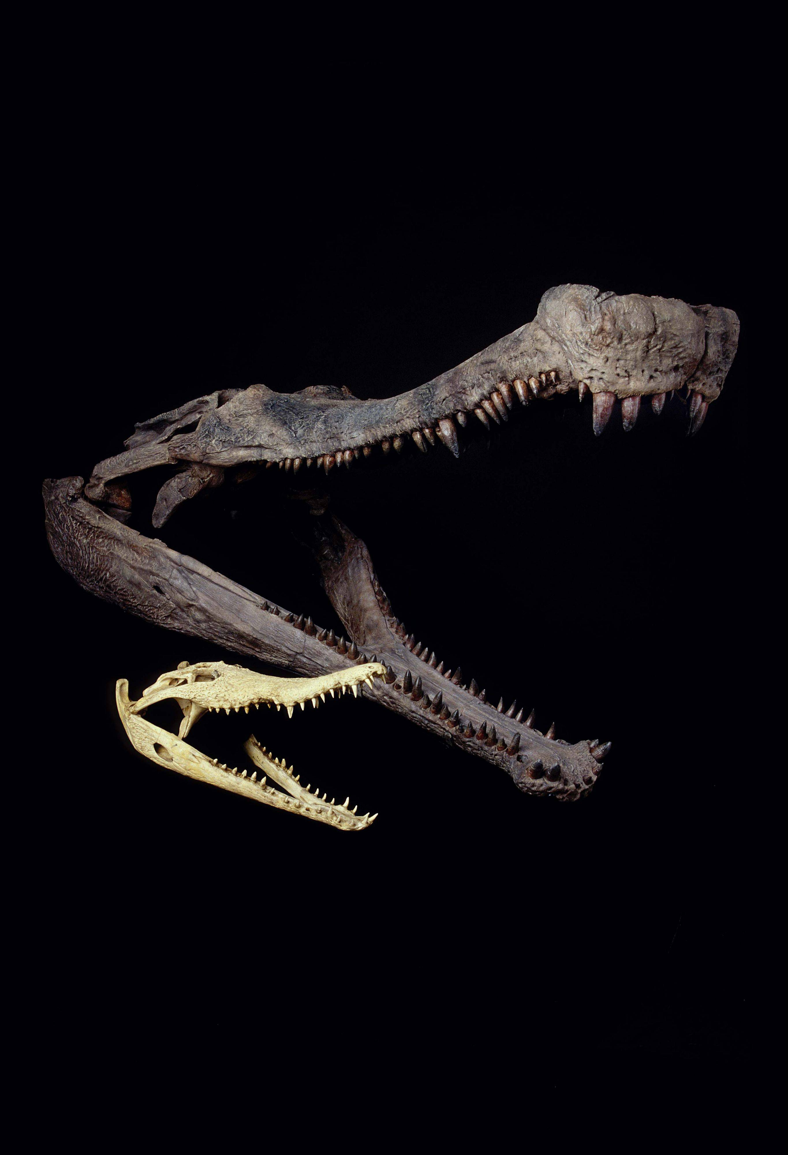 "The fossil skull of 110-million-year-old SuperCroc dwarfs the skull of an Orinoco crocodile. A ""SuperCroc"" exhibit featuring 40-foot crocodiles that lived 110 million years ago is headed in early May to Gail Borden Public Library in Elgin."