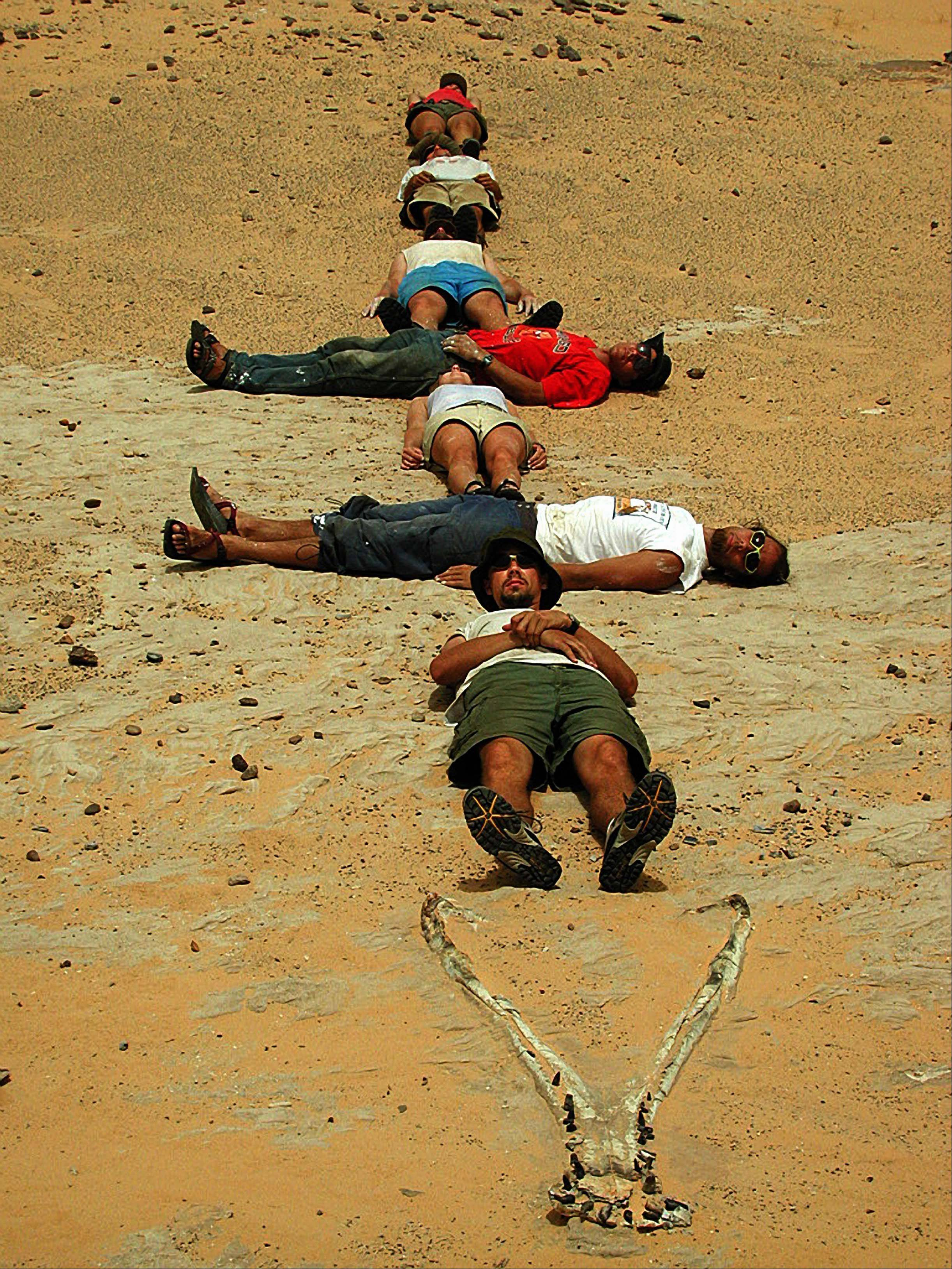 "A ""SuperCroc"" exhibit featuring 40-foot crocodiles that lived 110 million years ago is headed in early May to Gail Borden Public Library in Elgin. In this photo, the expedition team that found the fossil in 2000 in Niger stretches behind SuperCroc's jaws to illustrate the crocodile's length."