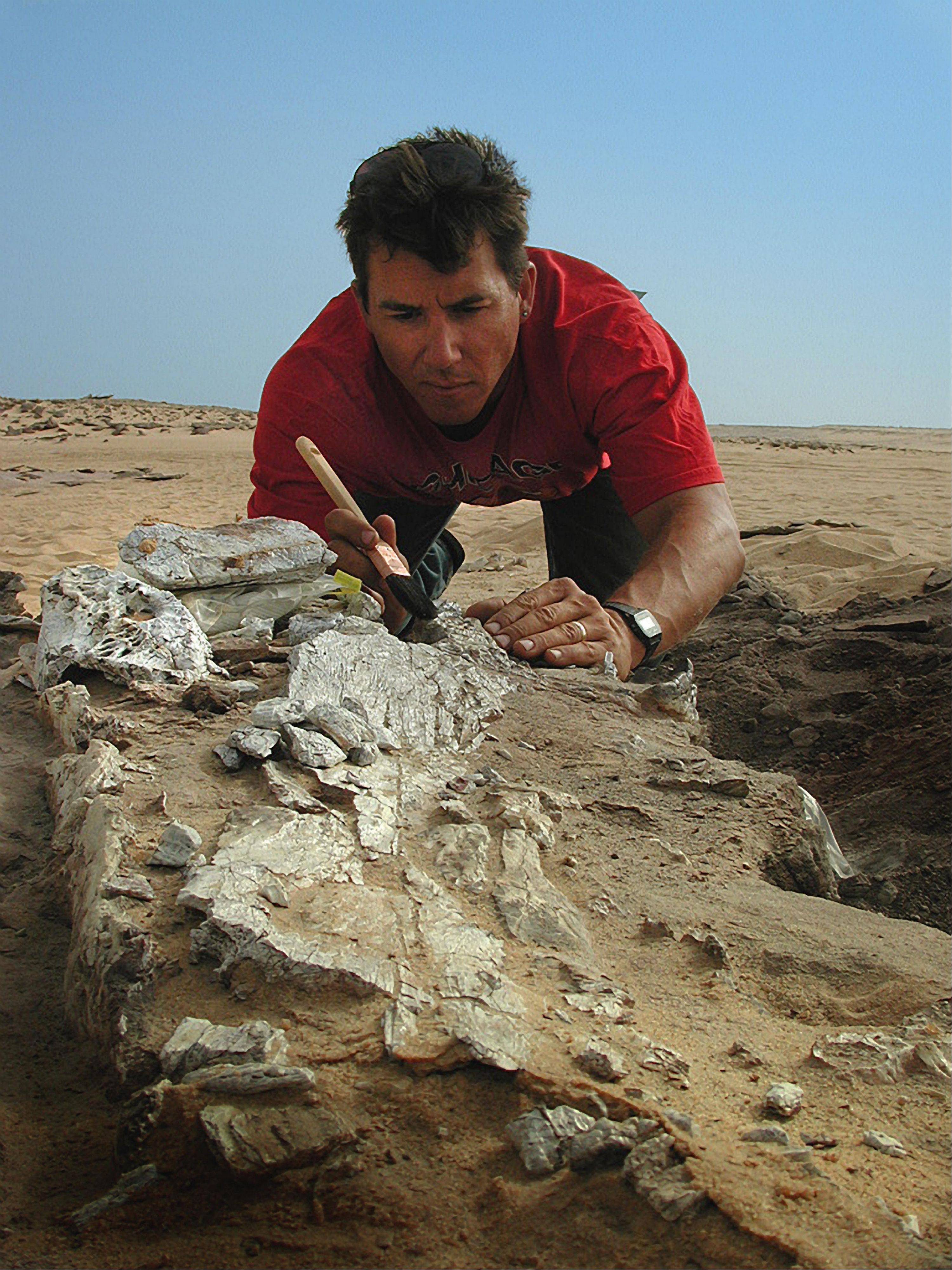 "Paul Sereno, co-founder of Project Exploration based in Chicago, lightly brushes away sand to expose a fossilized Sarcosuchus skull. A ""SuperCroc"" exhibit featuring 40-foot crocodiles that lived 110 million years ago is headed in early May to Gail Borden Public Library in Elgin."