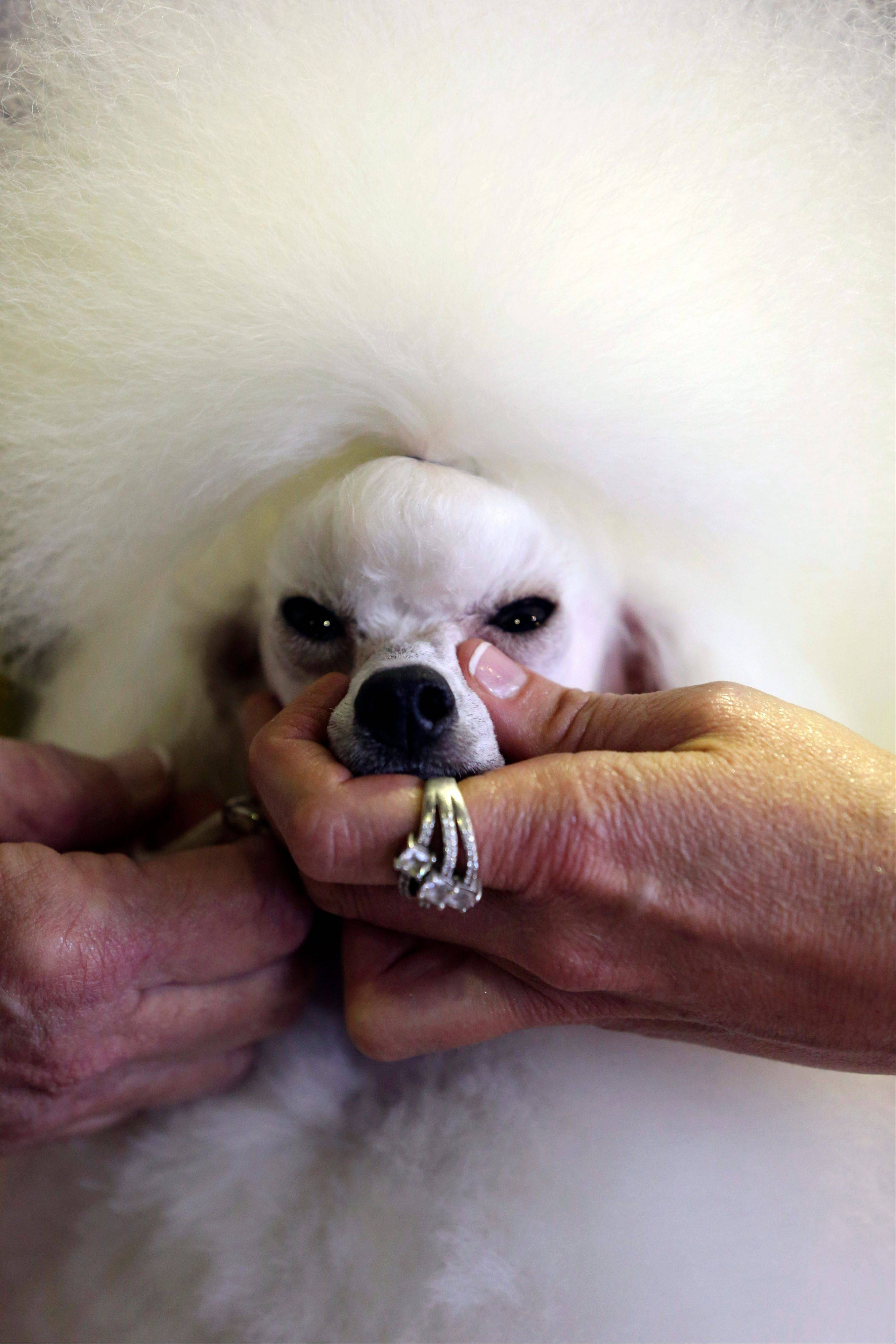 Images: 137th Westminster Kennel Club dog show