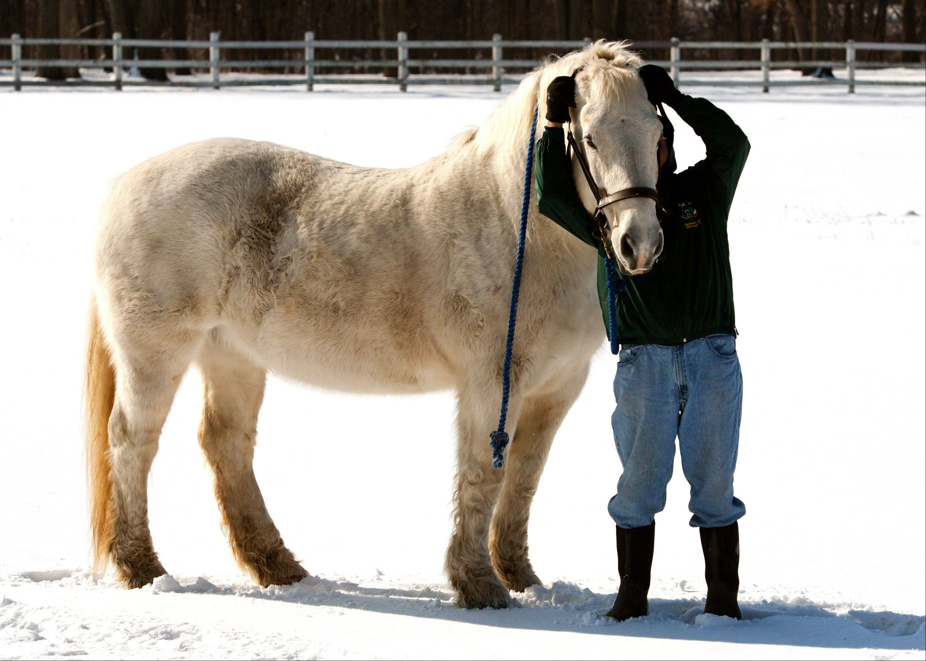 A volunteer prepares to move a horse to another pasture at the Danada Forest Preserve in Wheaton. DuPage Forest Preserve Commissioners are conducting their own investigation into claims that horses are poorly treated at Danada Equestrian Center in Wheaton.