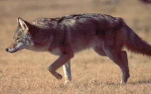 Coyote Sightings Prompt Wildlife Safety Reminders