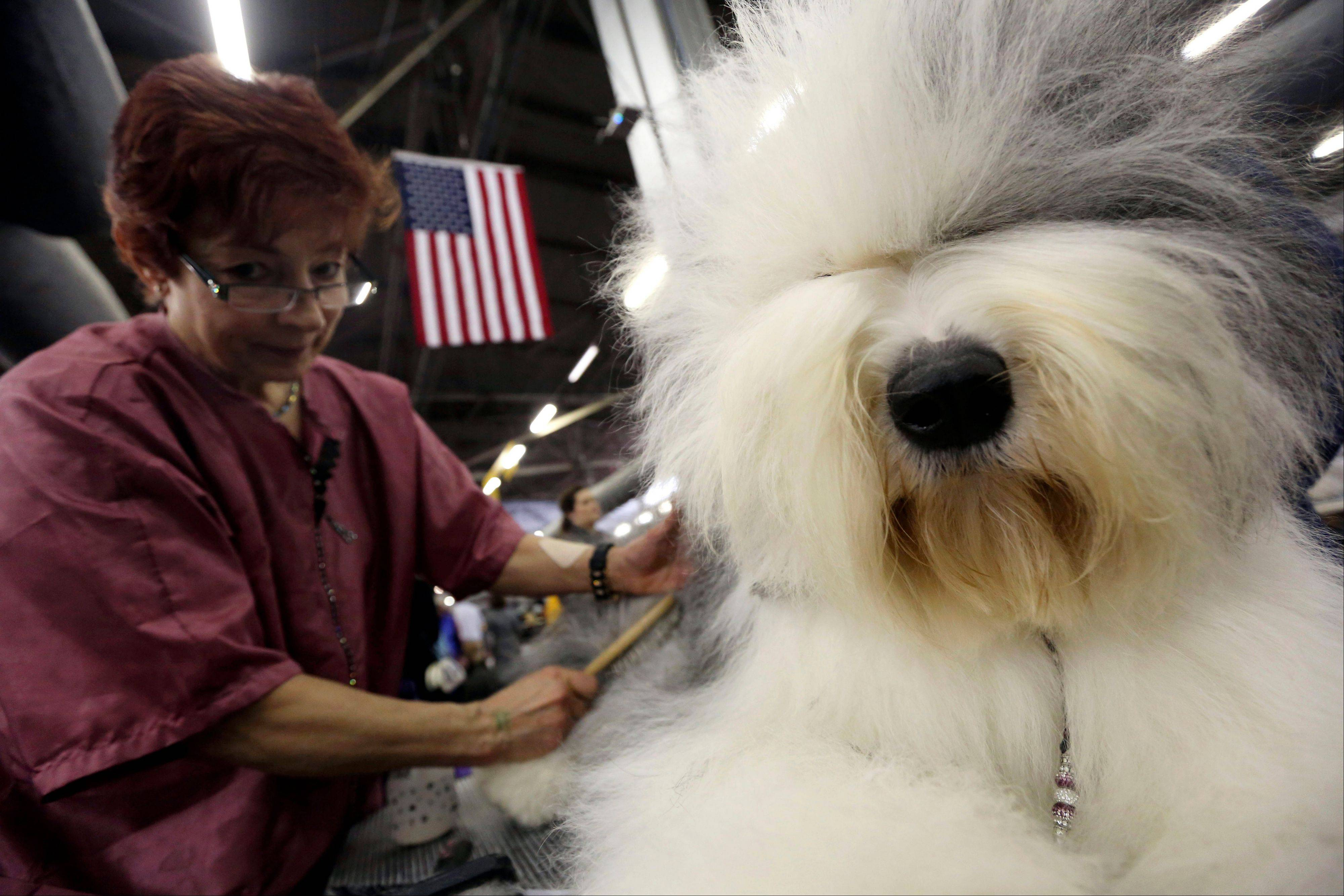 Caroll Geiser, of Rochester, N.Y., grooms Eva, a 3-year-old Old English Sheep dog, during the 137th Westminster Kennel Club Dog Show Monday in New York.