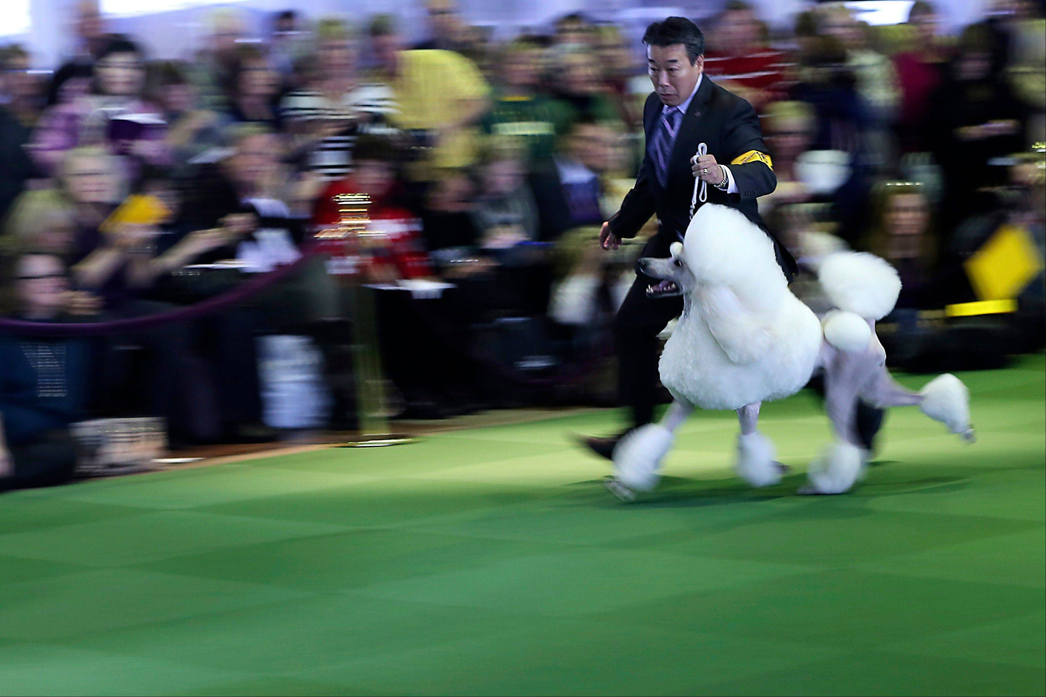 A handler shows a standard poodle in the ring during the 137th Westminster Kennel Club dog show, Monday, Feb. 11, 2013 in New York.