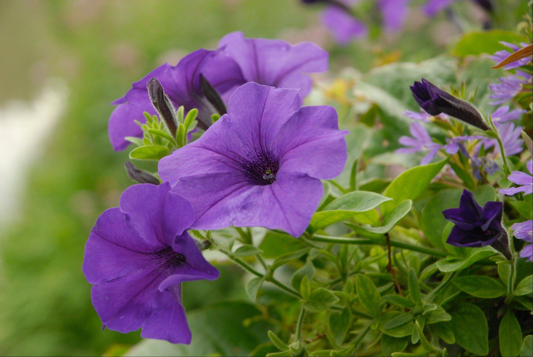 It's a good time to start the seeds for annuals that need more time to mature before transplanting, such as pansies.