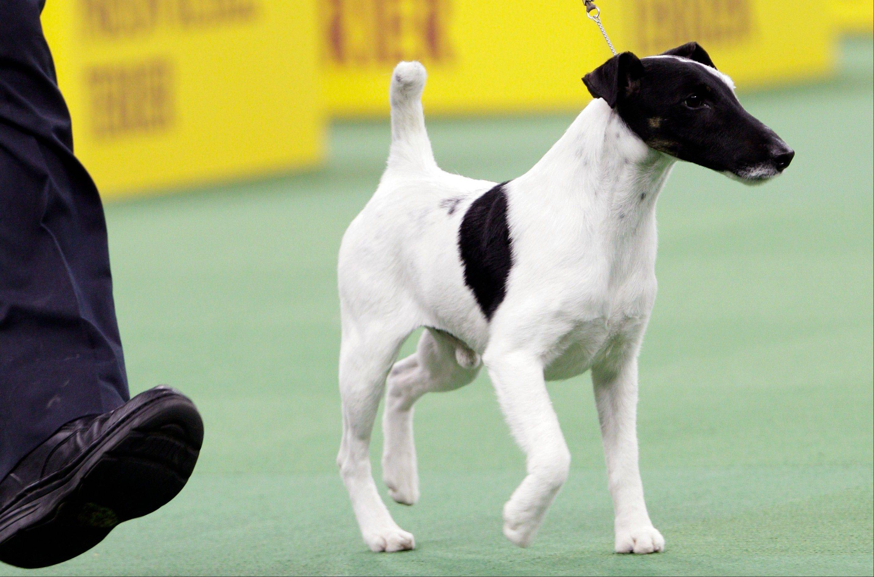 Adam, a smooth fox terrier and winner of the terrier group, is shown during the 137th Westminster Kennel Club dog show, Tuesday, Feb. 12, 2013, at Madison Square Garden in New York.