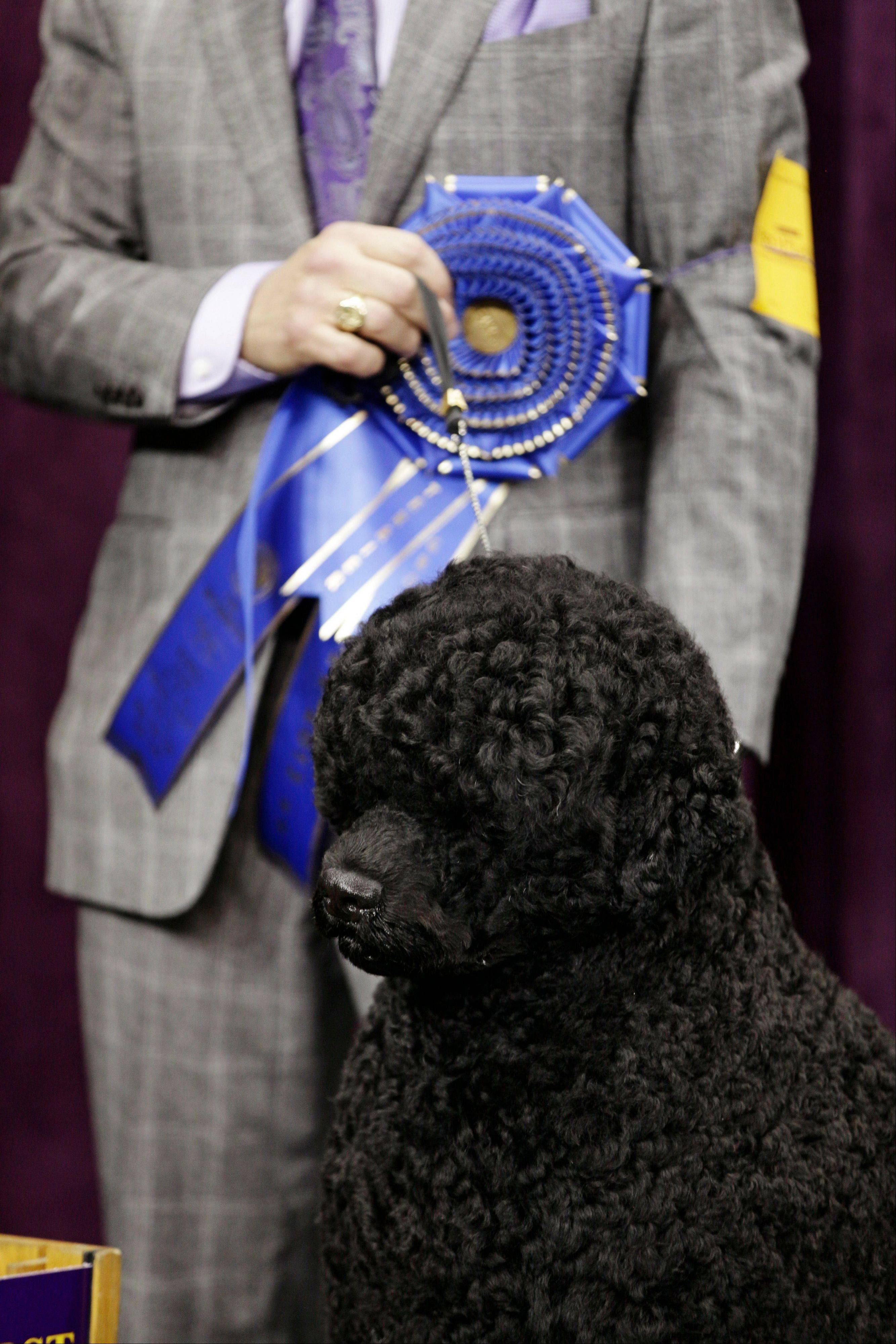 Matisse, a Portuguese water dog and winner of the working group, is shown during the 137th Westminster Kennel Club dog show, Tuesday, Feb. 12, 2013, at Madison Square Garden in New York.