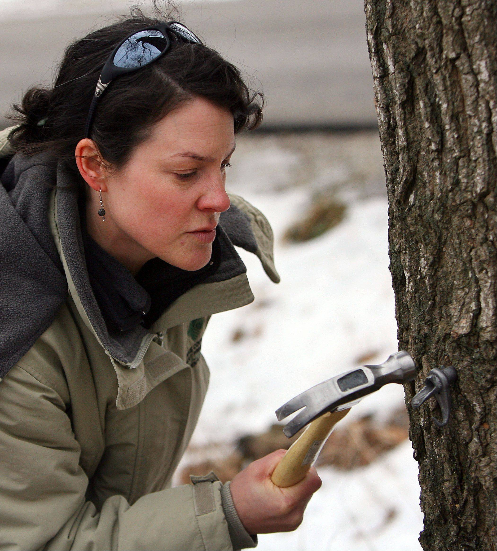 Lake County Forest Preserve Environmental Educator Jen Berlinghof hammers a spigot into a sugar maple tree.