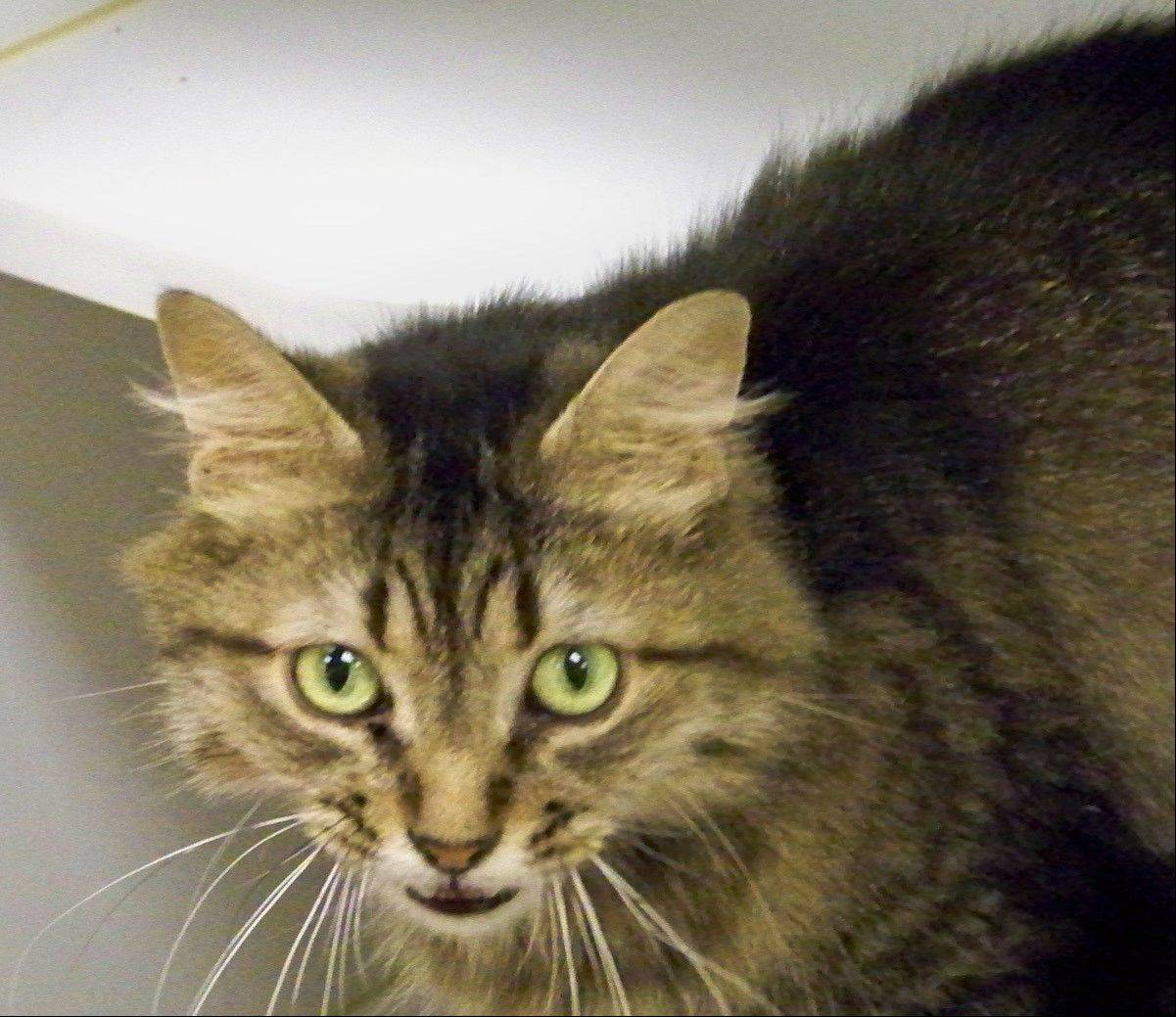 Rocky is a sweet medium-haired, male Maine coon cat with green eyes. Maine coon cats are known to be intelligent, playful, hold a hardy disposition and have a loving devotion to their human family.