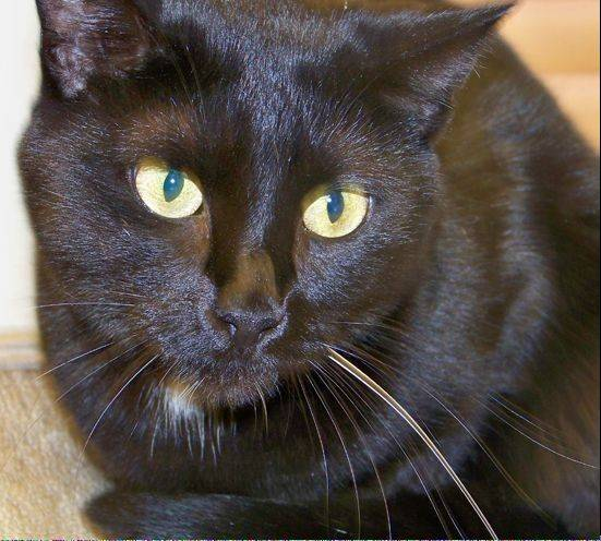 Tresa is an adorable, little, female cat with soft, sleek and shiny black fur. She is shy, but is very sweet and likes to be petted. Once she knows she can trust you, you'll discover her beautiful, loving personality.