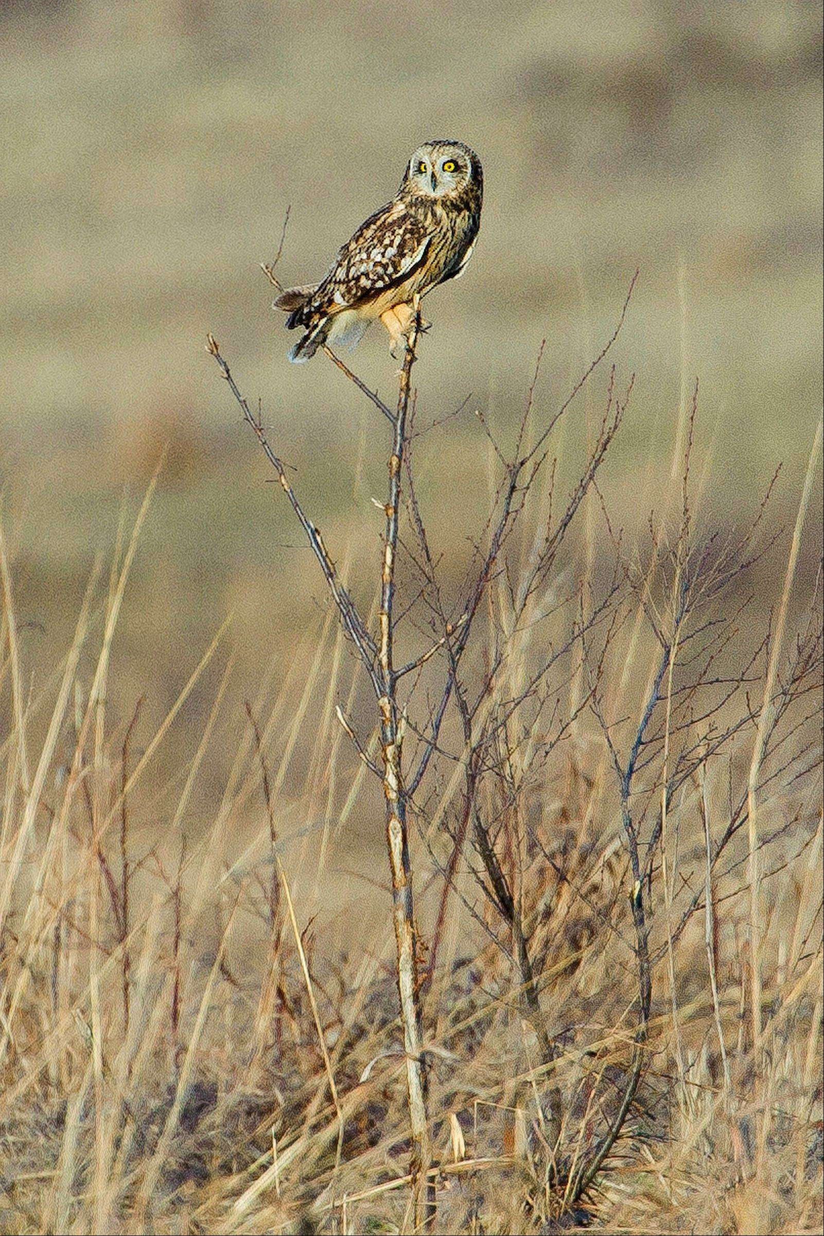 A short-eared owl perches on a branch during an afternoon hunt at Pyramid State Park outside Pinckneyville,