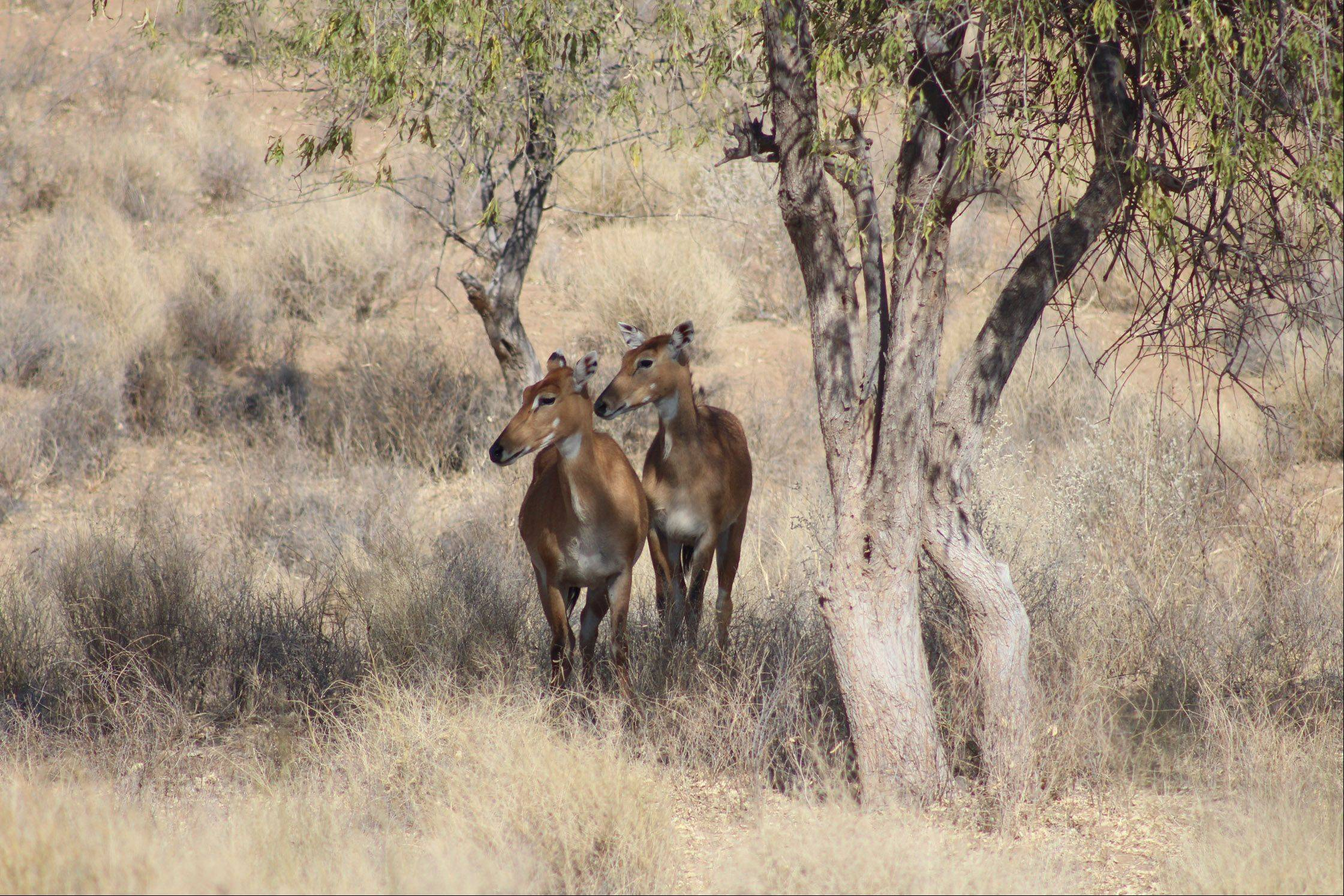 Two female nilgais stand under a group of trees at Manvar Resort in Thar Desert near Jodhpur, India last month.
