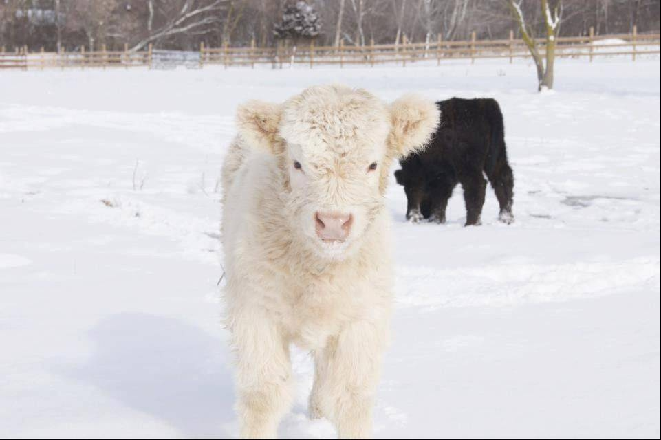 Courtesy of Susanna FarmsGuests can meet two new Scottish Highland bulls at the President's Day weekend event at Susanna Farms in Lake Villa.