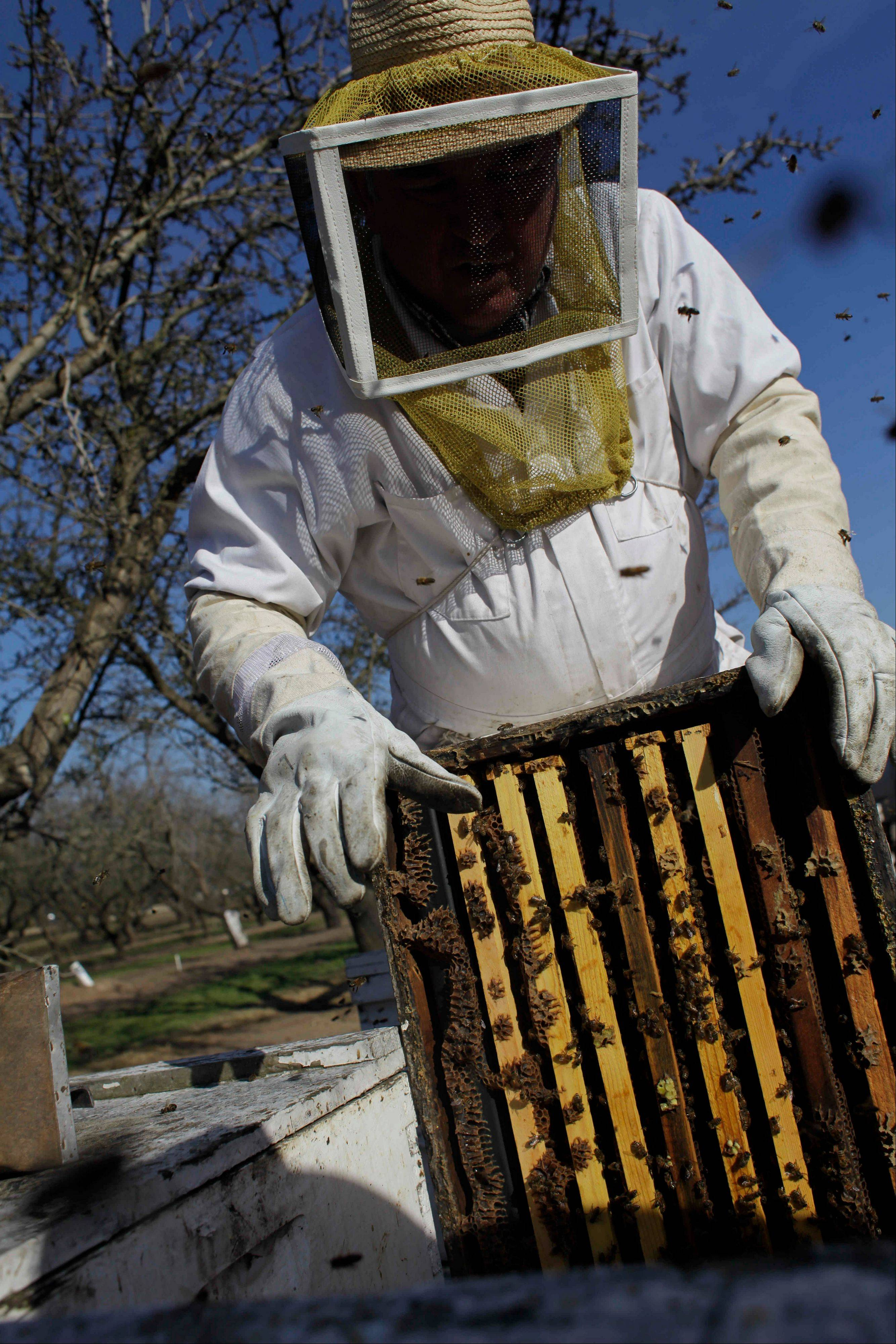 Bee inspector Neil Trent of Scientific Ag Co., inspects a frame of bees Tuesday to assess the colony strength, near Turlock, Calif.