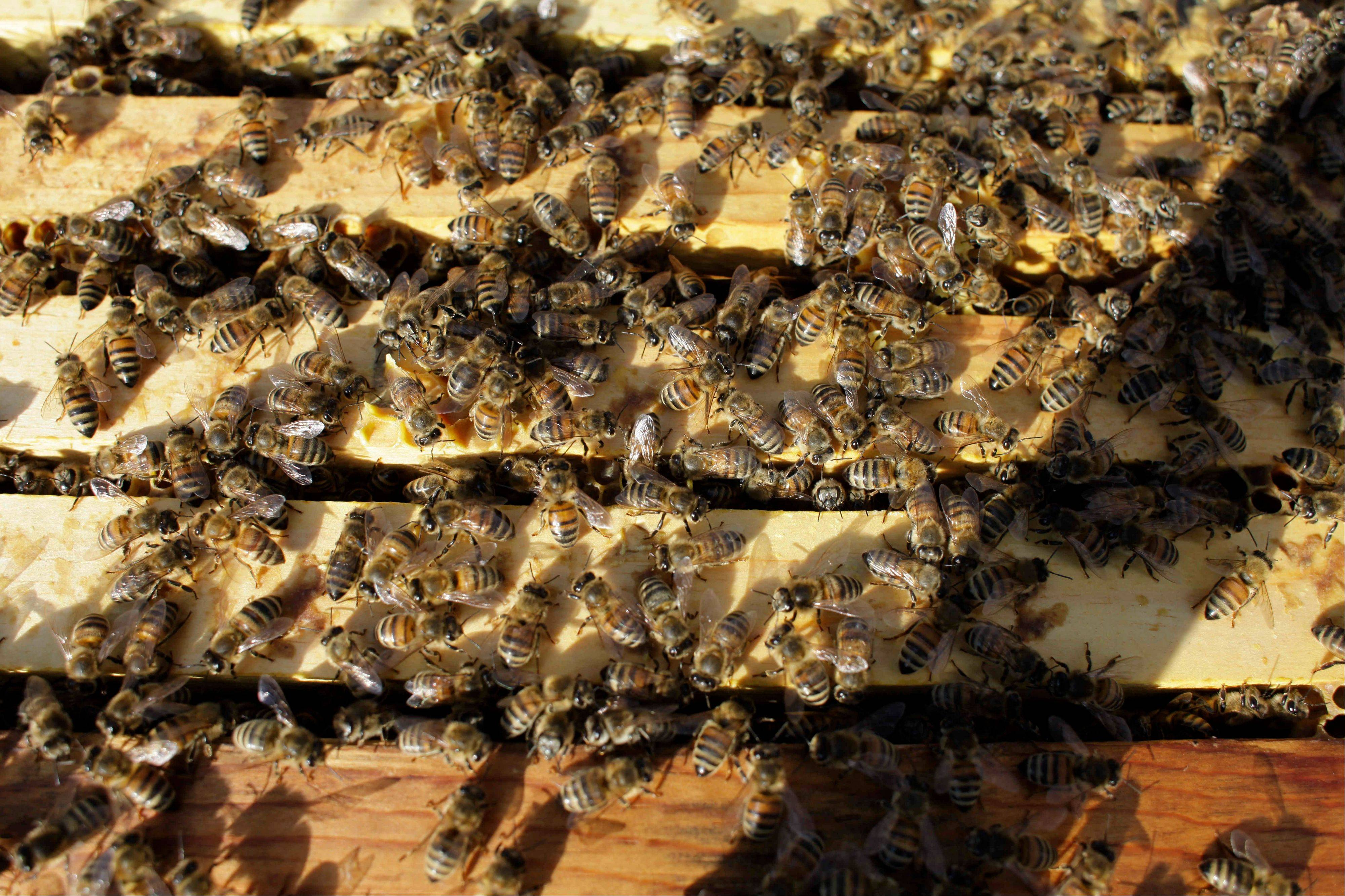 Honeybees cluster Tuesday on top of the frames of an opened hive in an almond orchard.