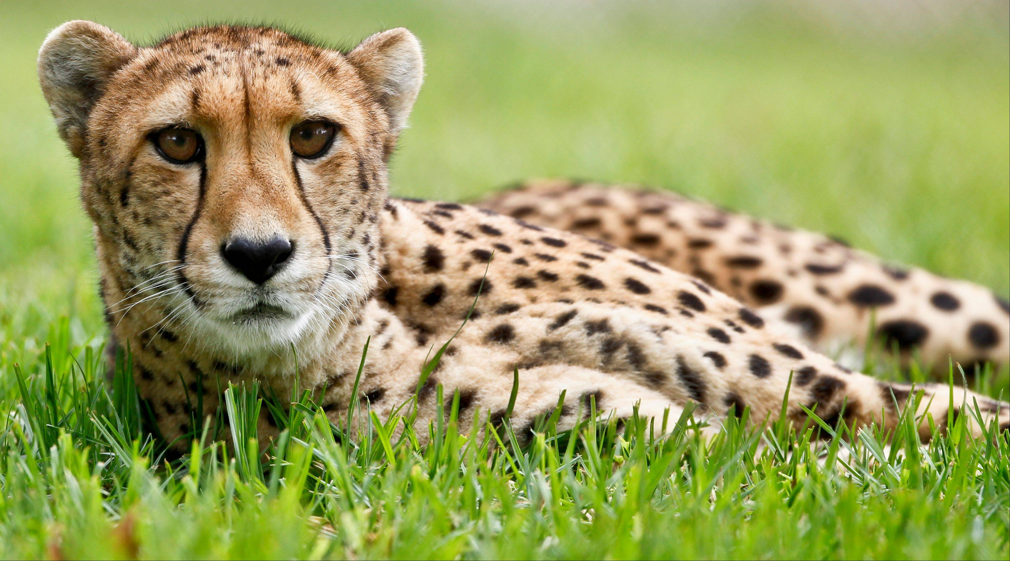 Nairobi, a 9-year-old female cheetah, keeps an eye on activity in an adjacent enclosure at the cheetah breeding facility at Safari Park in Escondido, Calif. Cheetahs might be the fastest mammals in the world, but they are also the world's biggest scaredy-cats.