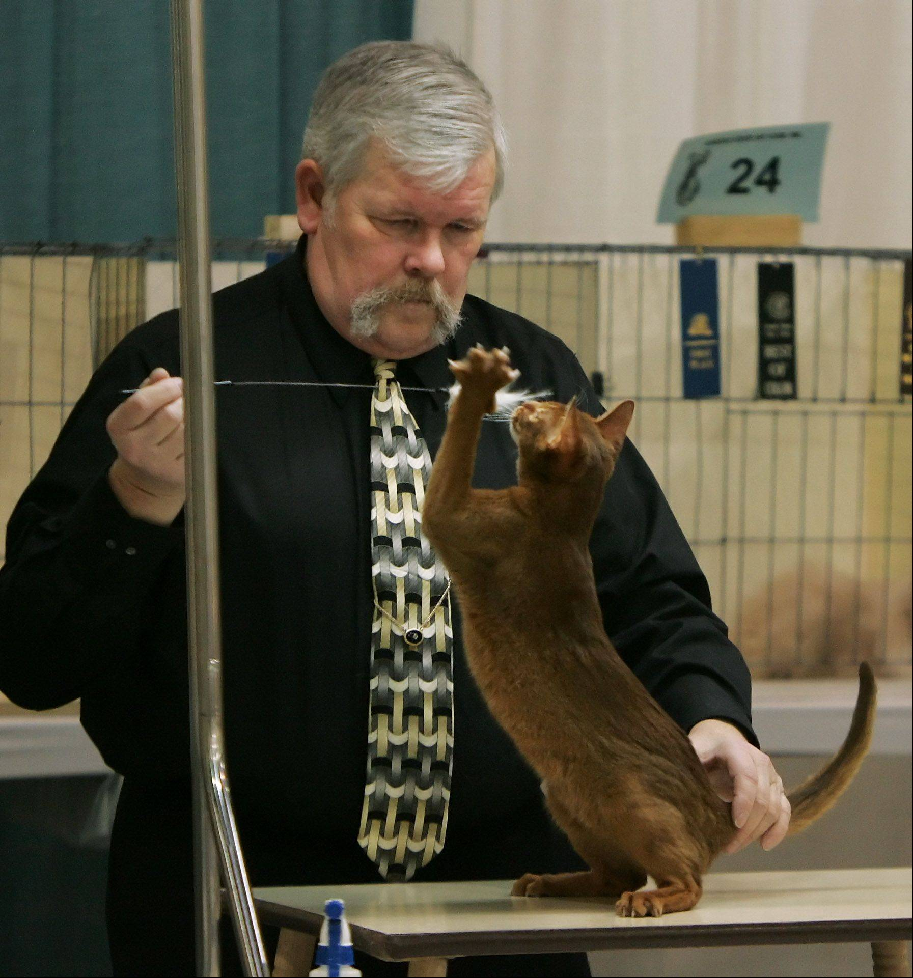 "Cat show judge Paul Patton, of Elgin, looks at a an Abyssinian named ""Somelikeithot"" during ""Purr-a-Pawlooza"" Sunday at Harper College in Palatine. The judging was part of event, also known as the 53rd annual Cat Fanciers' Association Allbreed Cat Show. It was hosted by the Lincoln State Cat Club and also featured 42 vendors, educational speakers, and entertainment."