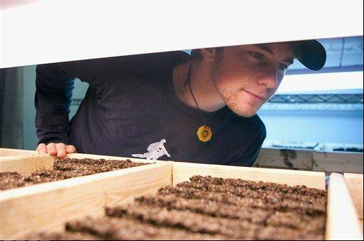 Matt Wallen, 23, an interim farm manager at Growing Together, Inc., Galesburgís latest nonprofit corporation and first large-scale urban farming effort, checks on the progress of plants at the non-profit's facility.