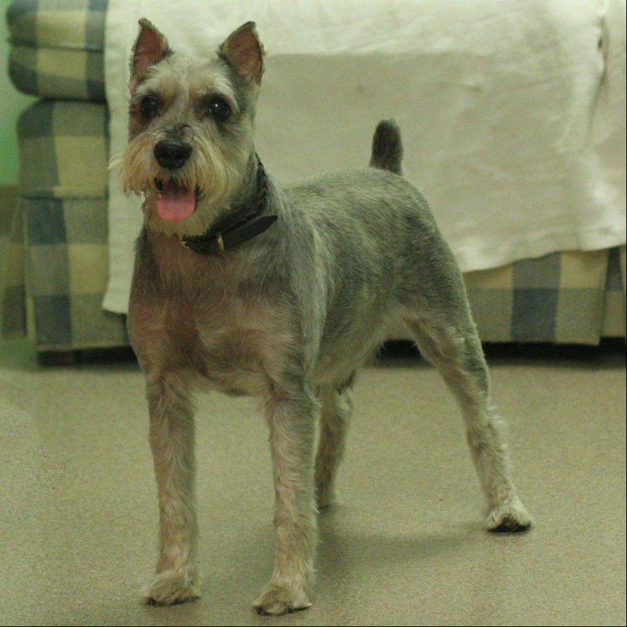 Fritz is a male, 4-year-old Schnauzer weighing about 19 pounds. He has diabetes and is in foster care. Call (847) 290-5806 to make arrangements to meet him.