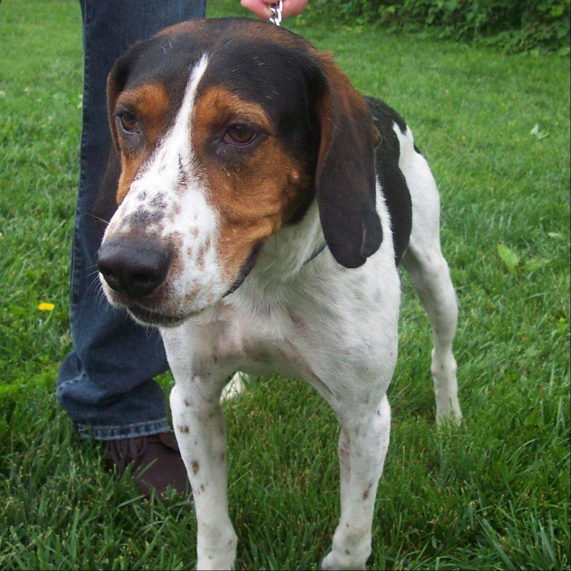 Boomer is a male hound mix who is about 1 year old and weighs 49 pounds.