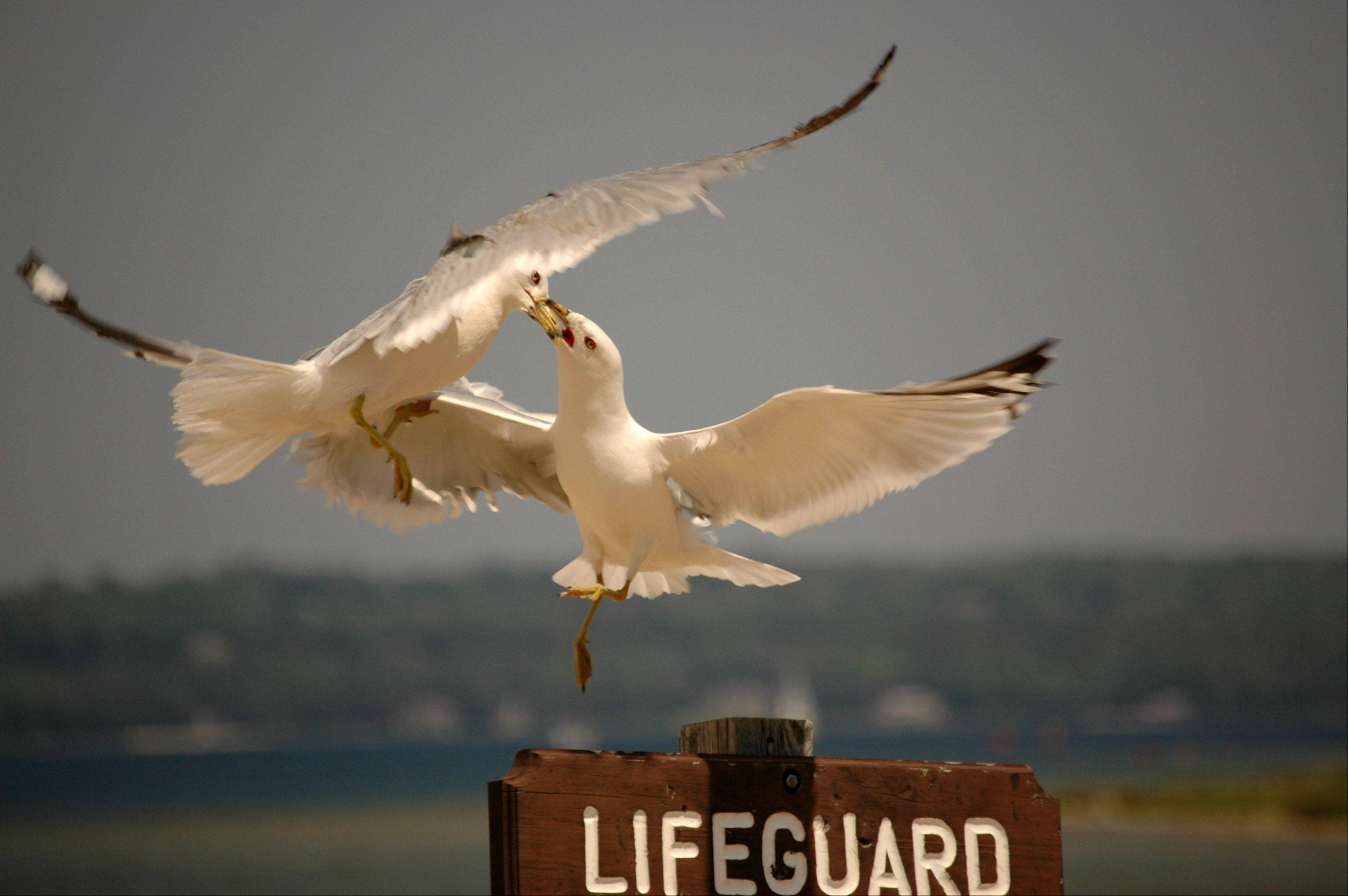 While on a trip to Lake Geneva, Wisconsin, we saw these two seagulls fighting for a landing spot on top of this lifeguard sign along the beach.