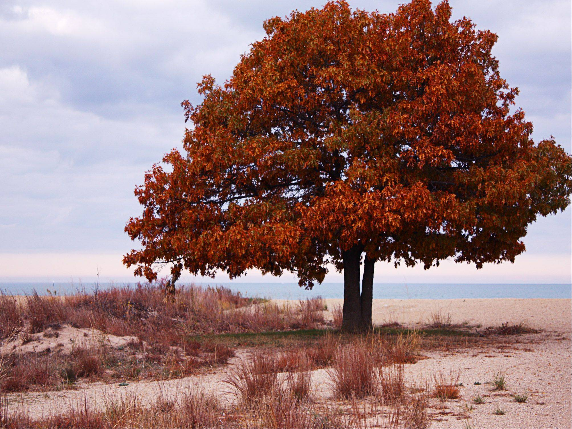A tree changes colors at Illinois Beach State Park in Wadsworth in early November, 2012.