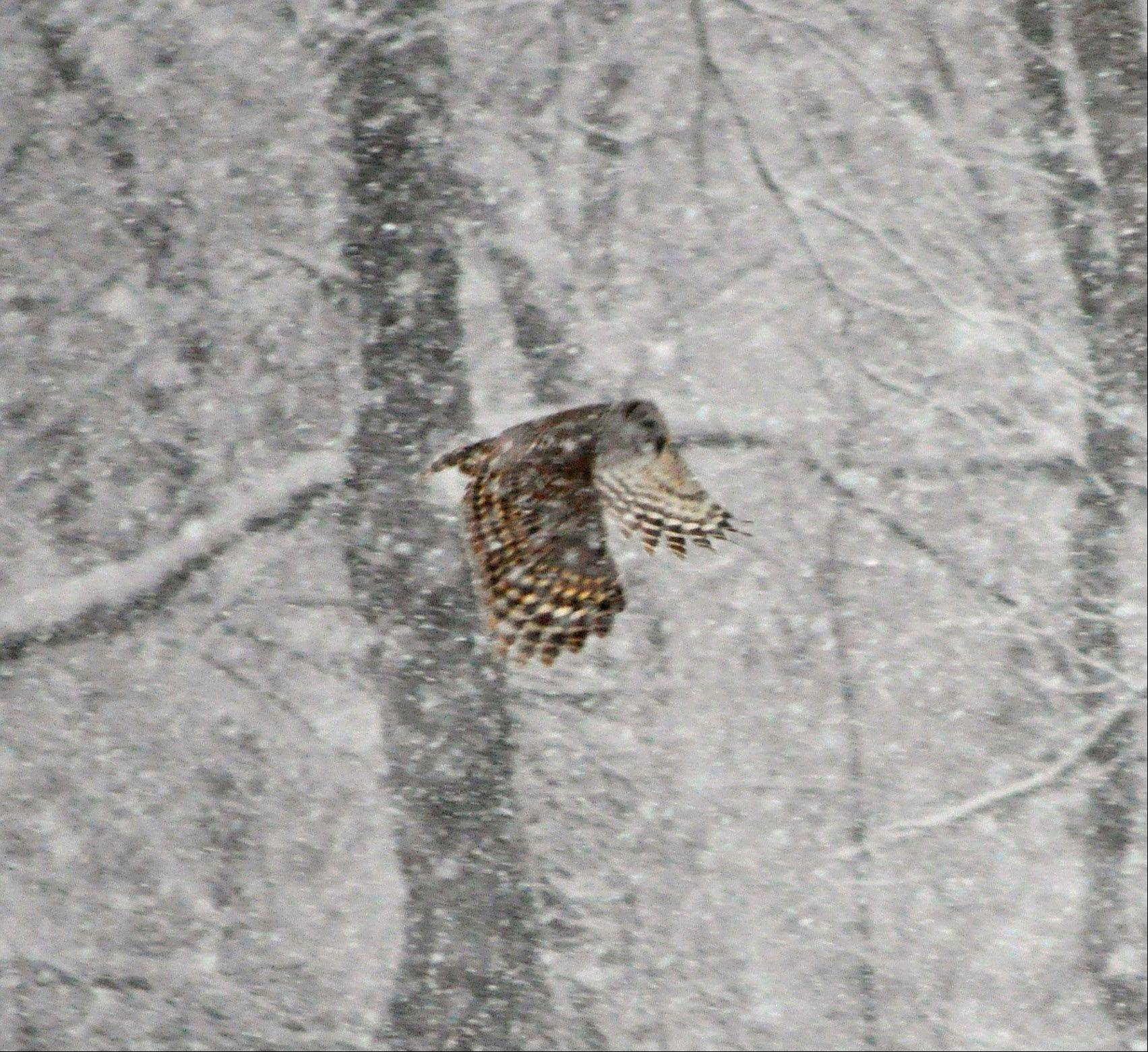 A Barred owl hunts during a snowstorm earlier this month in Barrington Hills.