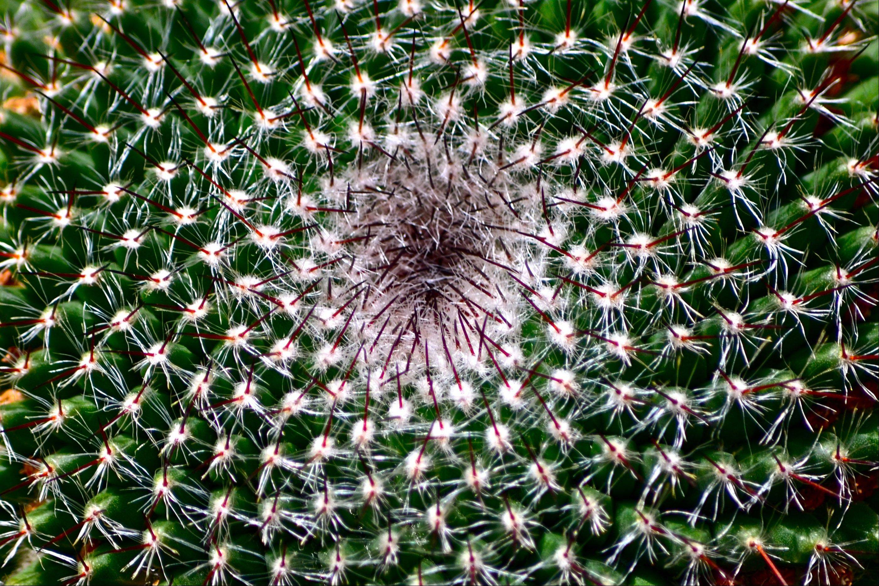 I took this picture of a barrel cactus while in Arizona for spring training a couple of years ago. This one was at the Phoenix Botanic Garden on a March day with the temperature at 91 degrees.