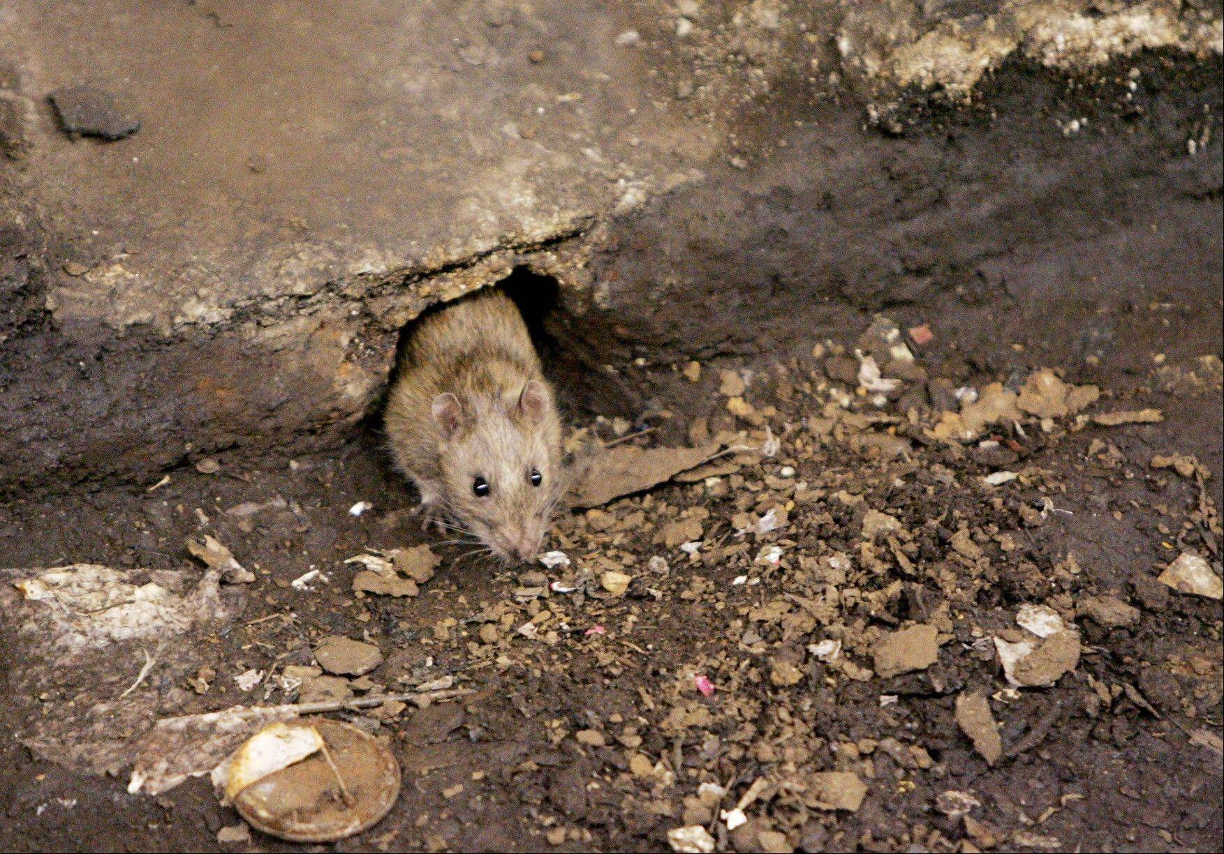 The New York City Council is considering a proposal to create an emergency rat mitigation program for storm-impacted neighborhoods. But some experts aren't so sure that Sandy's supposed rat surge is for real.