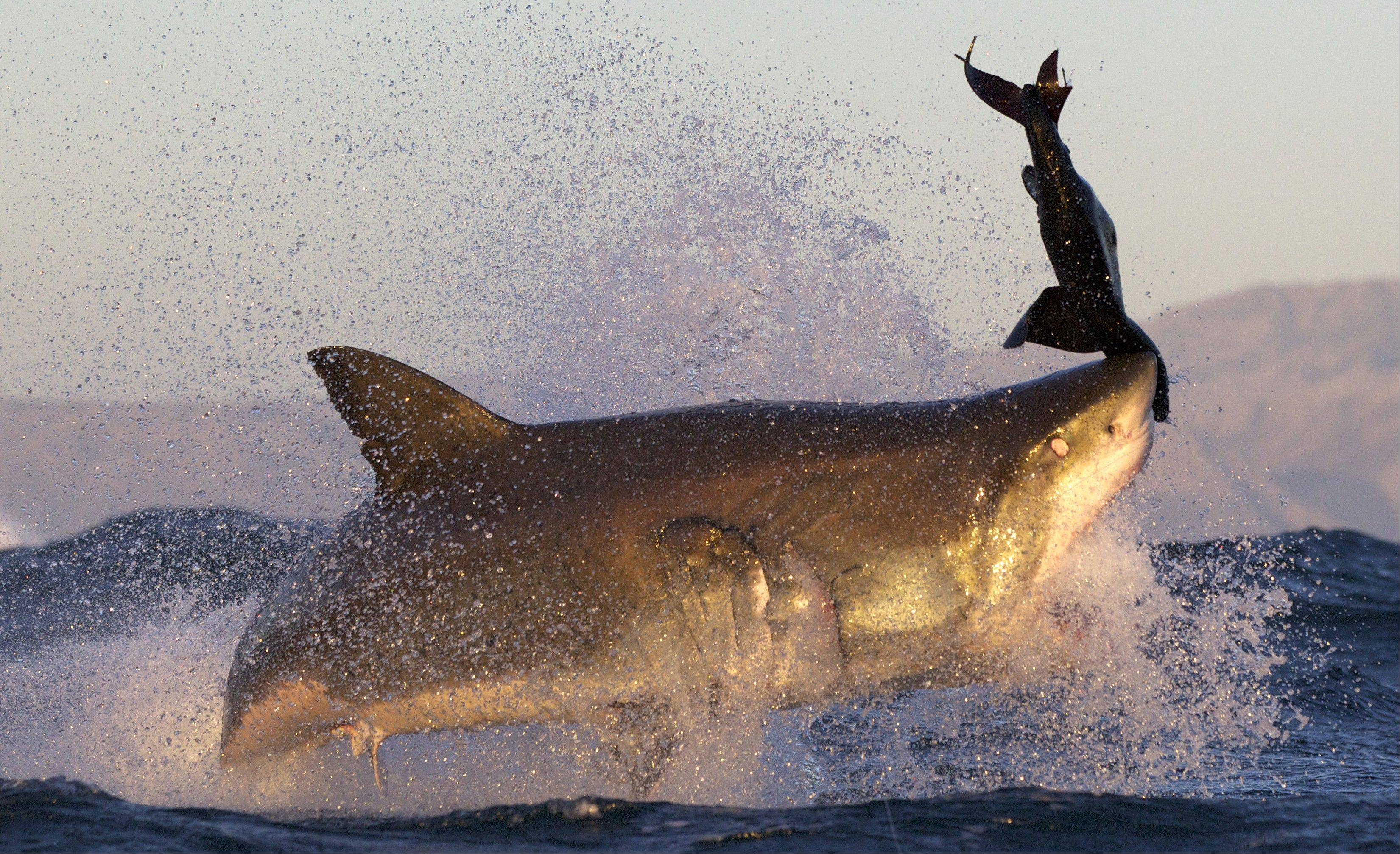 "A great white shark reaches to grab a seal decoy on the Discovery Channel's ""Air Jaws."" As the apex predators of the ocean, which covers most of the Earth's surface, great whites are the world's greatest predators, according to Jim Covel, senior manager at Monterey Bay Aquarium in California."