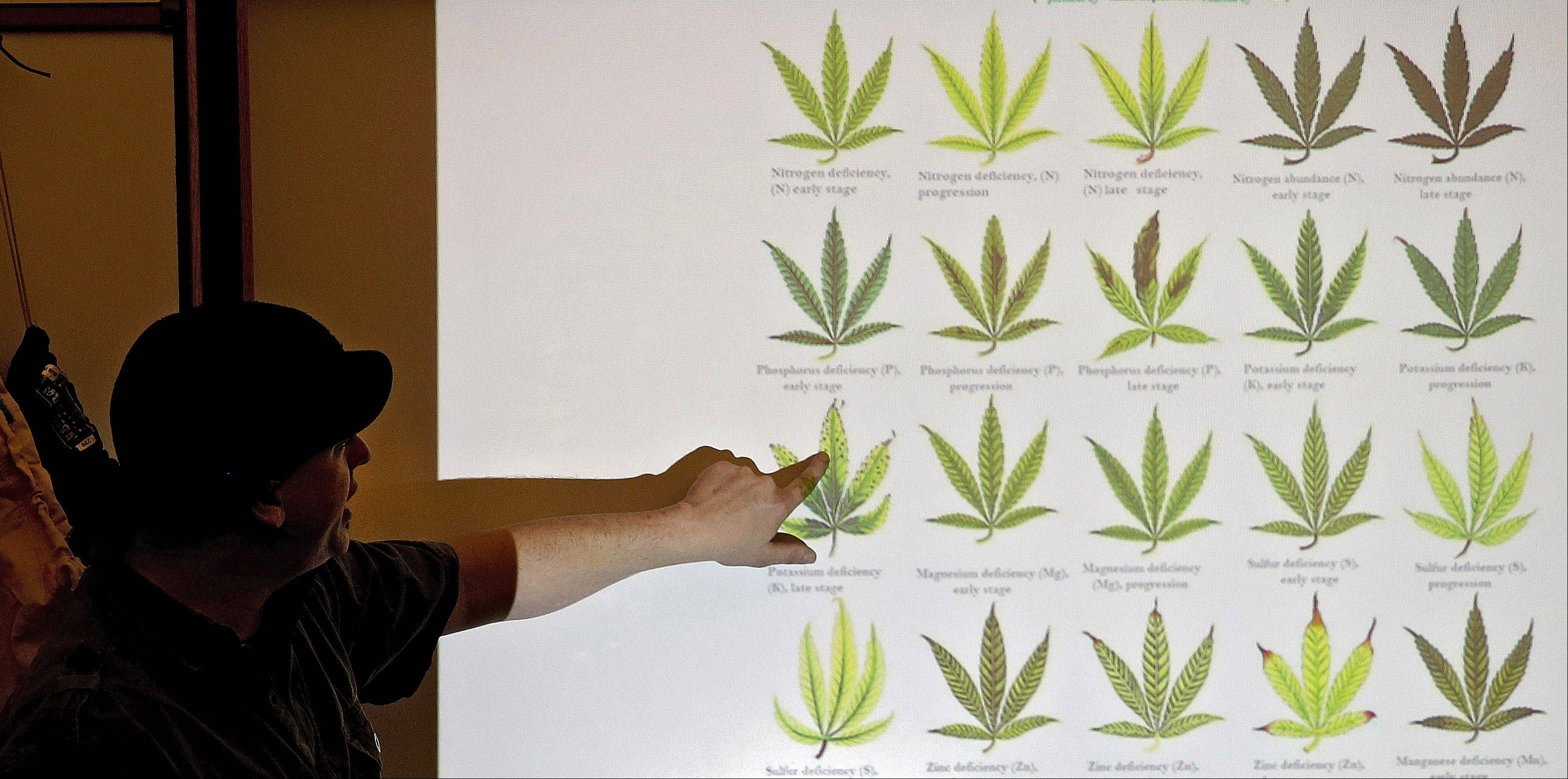 "Instructor Ted Smith uses a slide to demonstrate different types of damage to marijuana plants during class at THC University in the Tivoli in Denver. Chemical fertilizers can be finely crafted to target a specific deficiency in the plants, whether they're lacking phosphorus, evident by telltale ""purple vein,""or potassium, a likely culprit when leaves show brown spots between the veins."