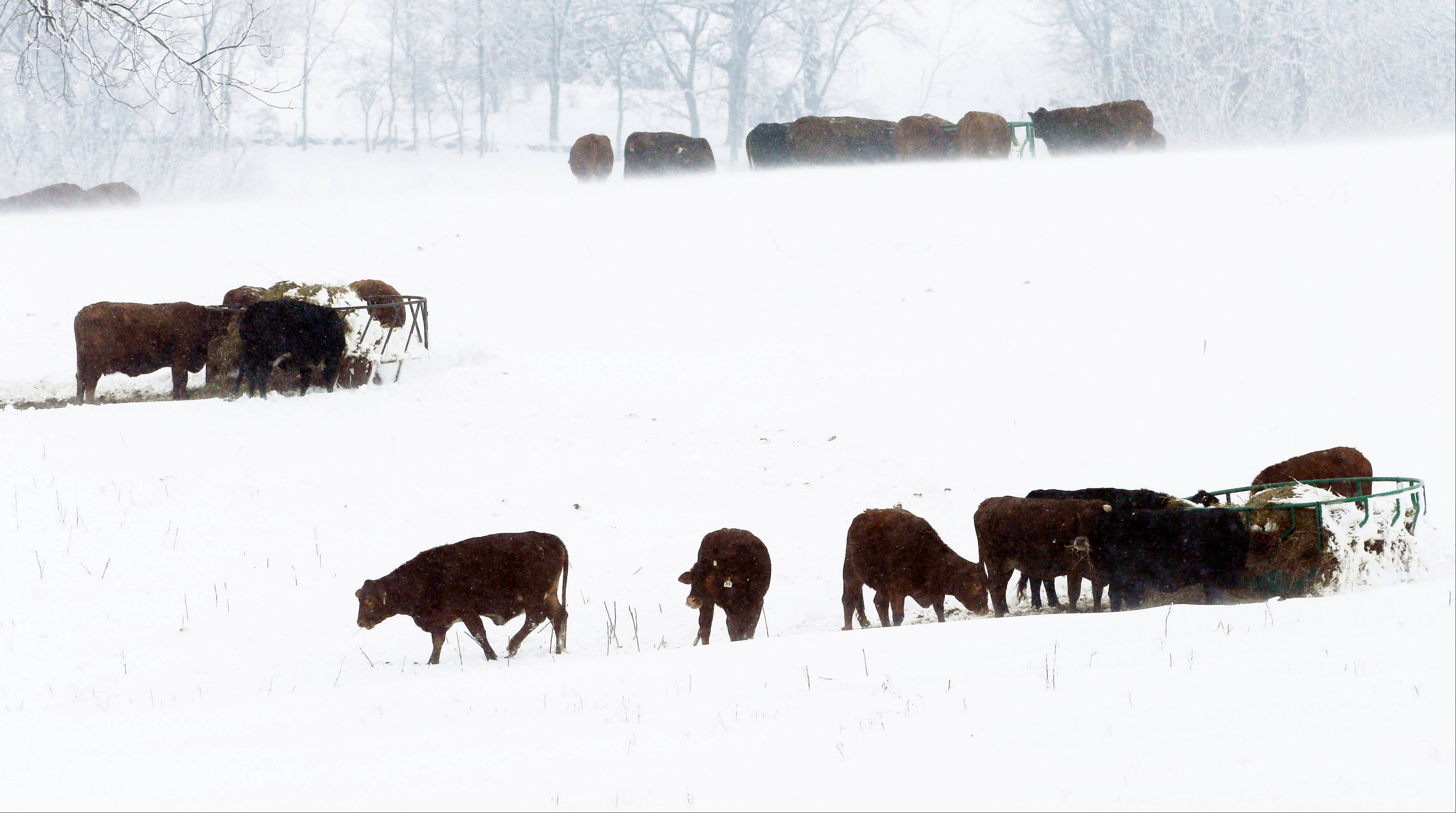 Cattle feed in a snow covered pasture near Lecompton, Kan., Tuesday. Every inch of snow is good news for the drought-plagued Plains.