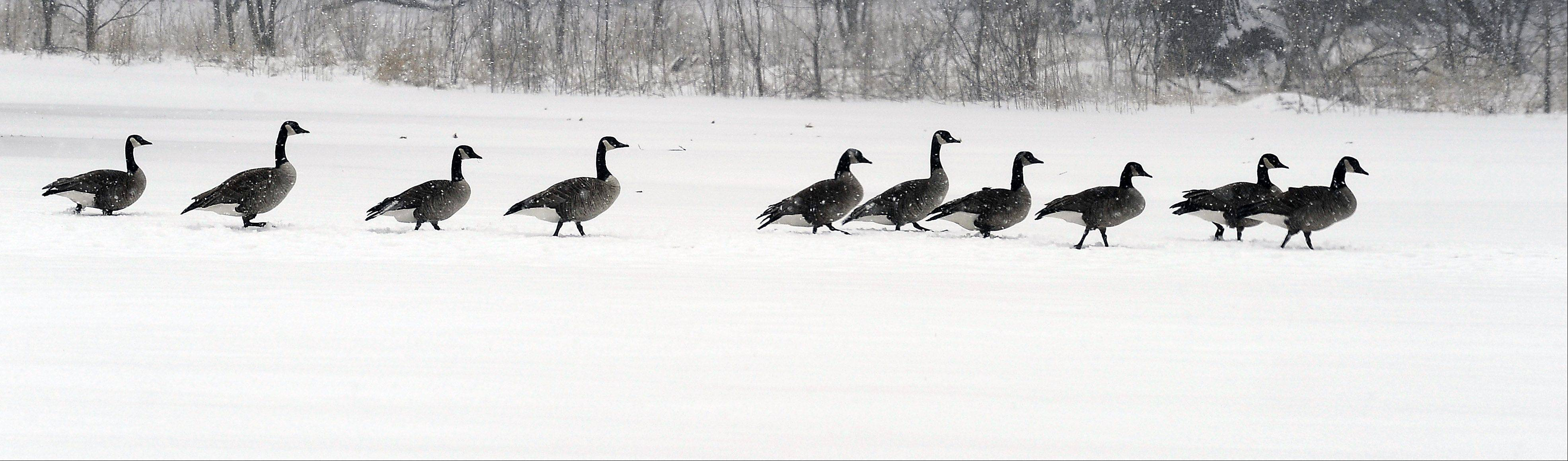 The winter storm that blew through the Northwest suburbs on Tuesday didn't slow down these geese as they moved through Elk Grove Village.