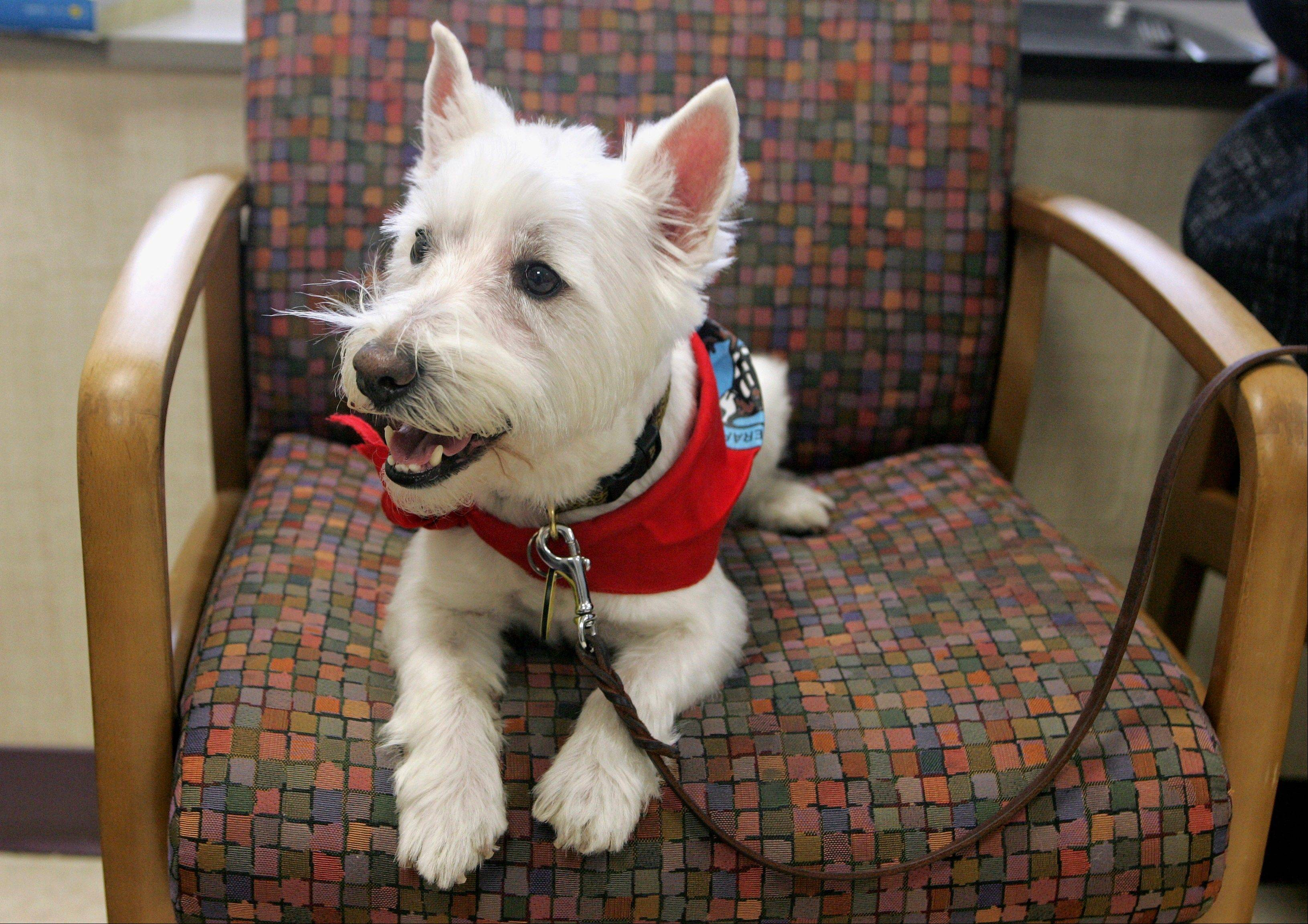 Ozzie visits Rockford Memorial Hospital in Rockford as the the hospital kicks off its Loving Tails animal therapy program that Ozzie and his owner, Karen Stephenson, in which they will participate.