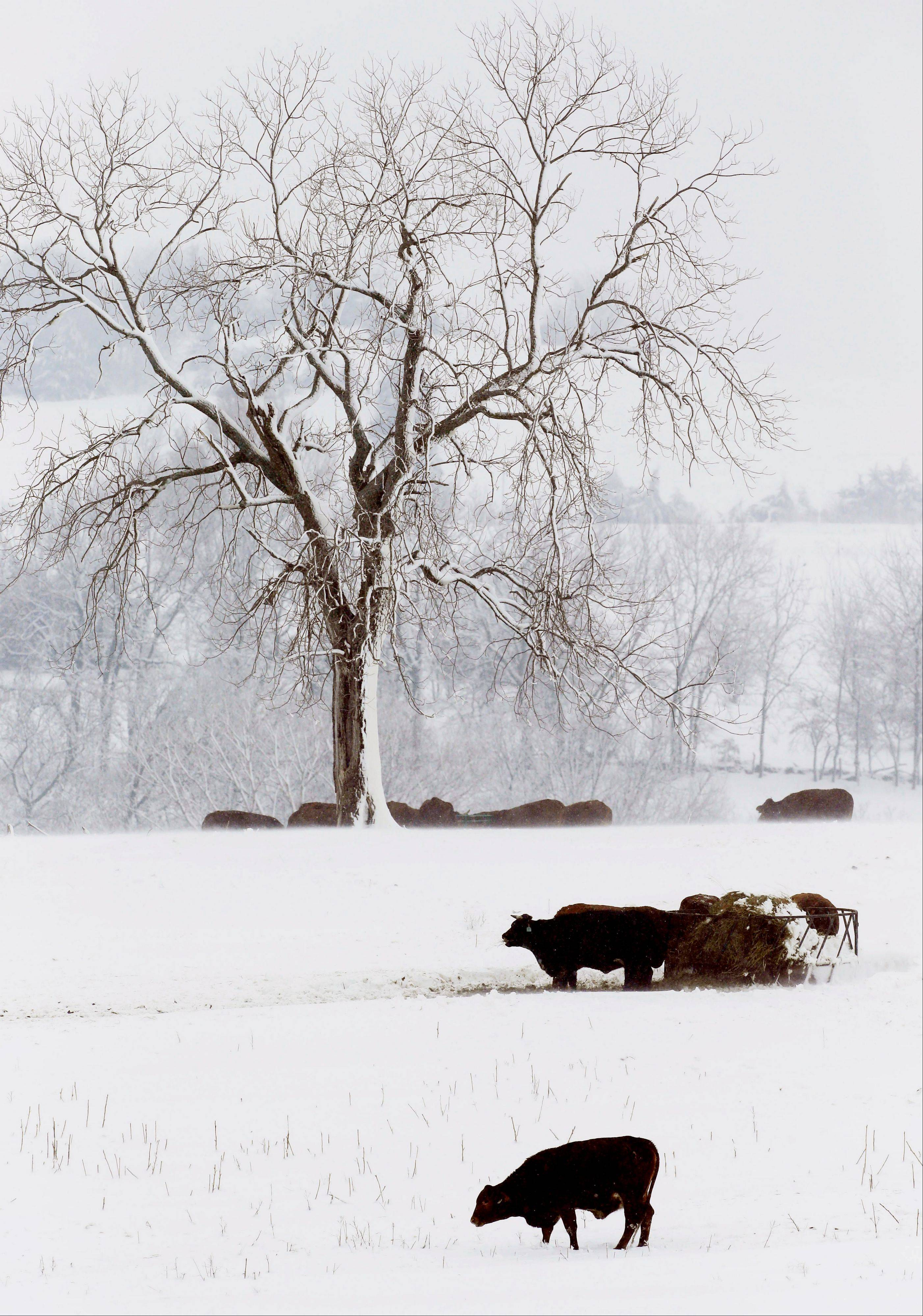 Cattle feed Tuesday in a snow covered pasture near Lecompton, Kansas. Farmers welcome the snow over moisture-starved soil.