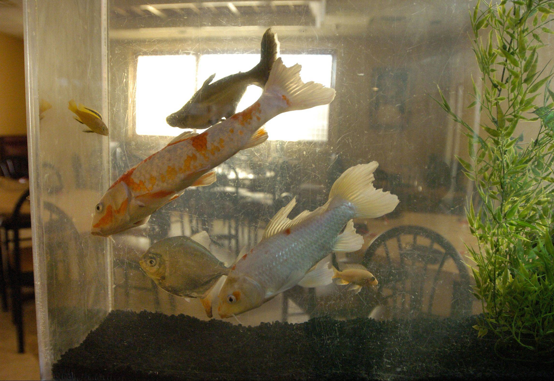 Fish greet diners walking into Silk Asian Tavern in Vernon Hills.