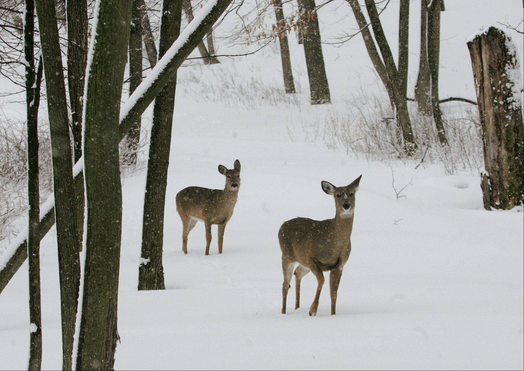 Deer search for food as they walk through University of Saint Mary of the Lake Serminary in Mundelein Wednesday as area residents and businesses dig out Wednesday after a snowstorm pounded Lake County yesterday.