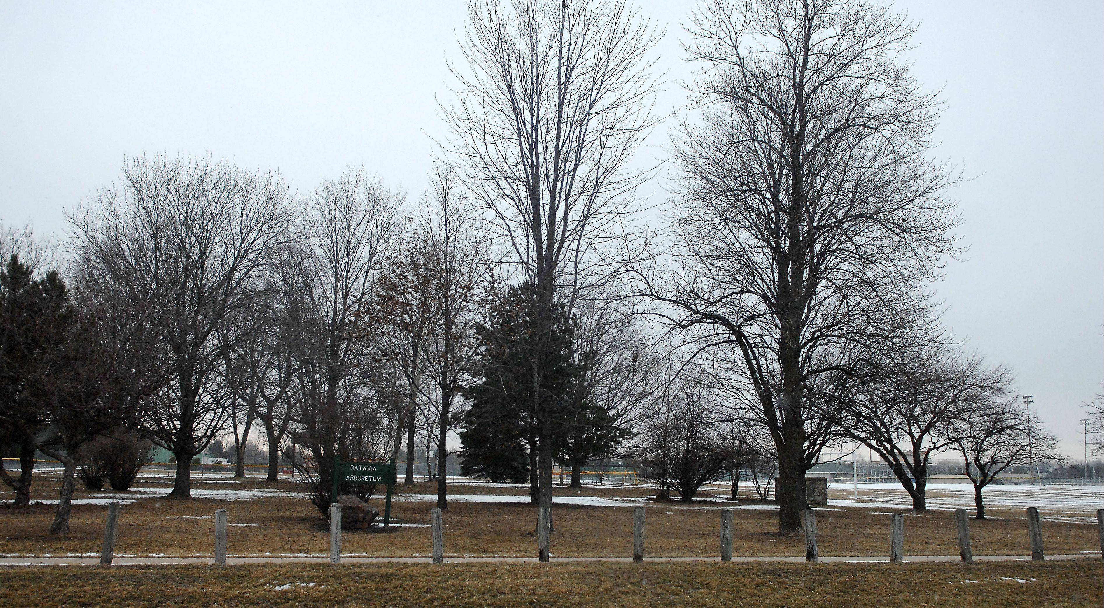 Possible updates to the Batavia High School athletic fields may result in the school's arboretum being cut down. Some were gifts when the school opened in the mid-1960s. New plantings throughout the campus could be rededicated, according to Patrick Browne, the school district's building and grounds director.