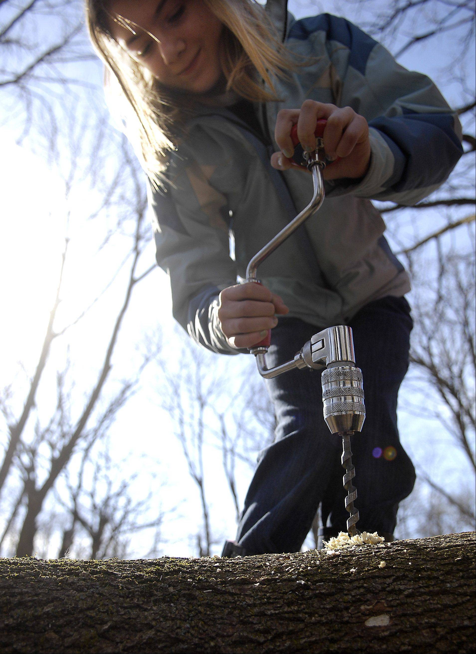 Sarah Henry, 11, of Batavia takes her turn practicing with a hand drill during a maple sugaring program for home-schooled kids at Brewster Creek Forest Preserve in St. Charles.