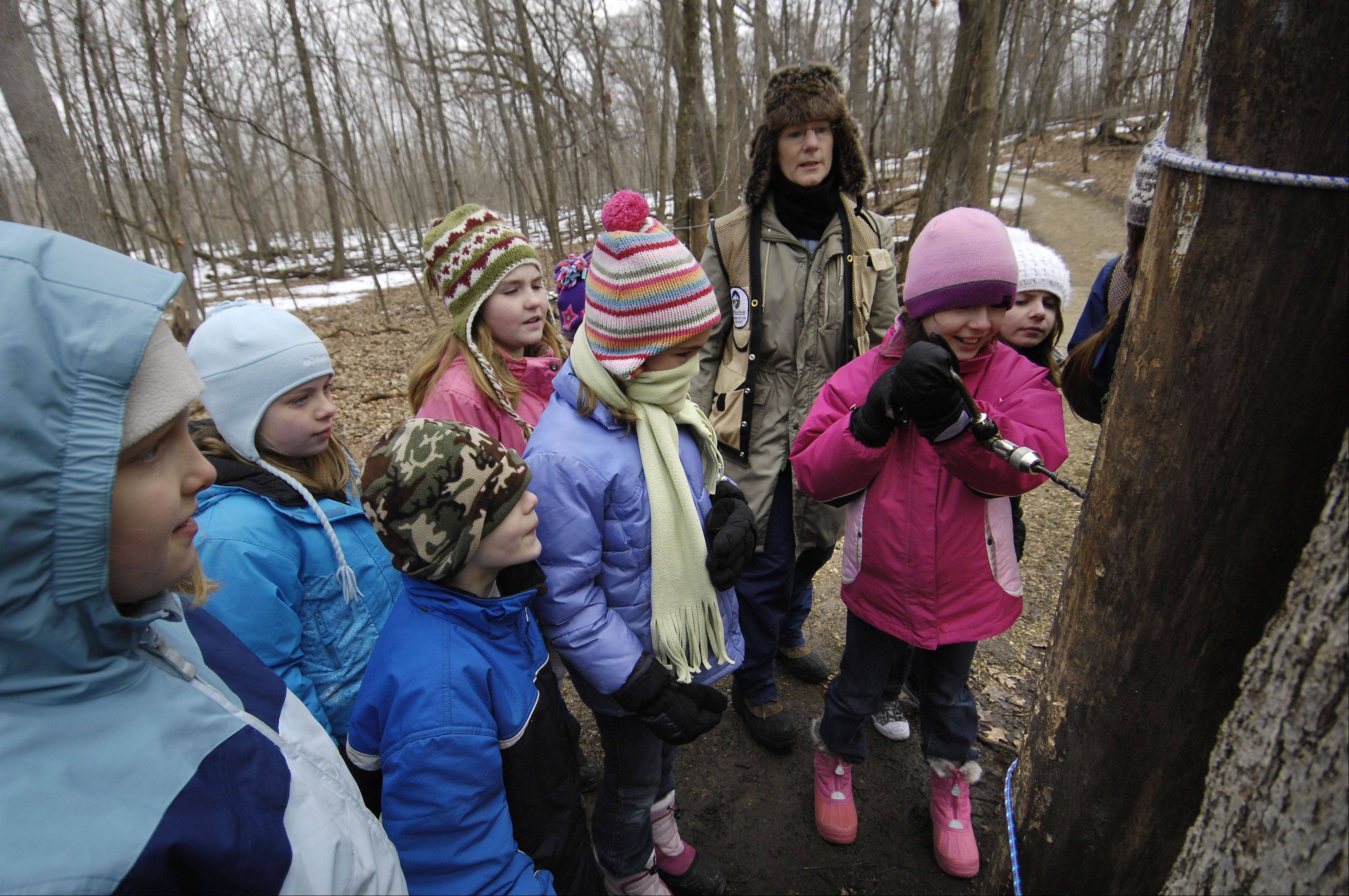Sara Coleman, 8, practices drilling a maple tree for sap with her Brownie Troop 1176 of Cary at the Festival of the Sugar Maples in Marengo. The McHenry County Conservation District's annual event takes place at Coral Woods, where guests can take an hourlong walk through the process of making maple syrup.