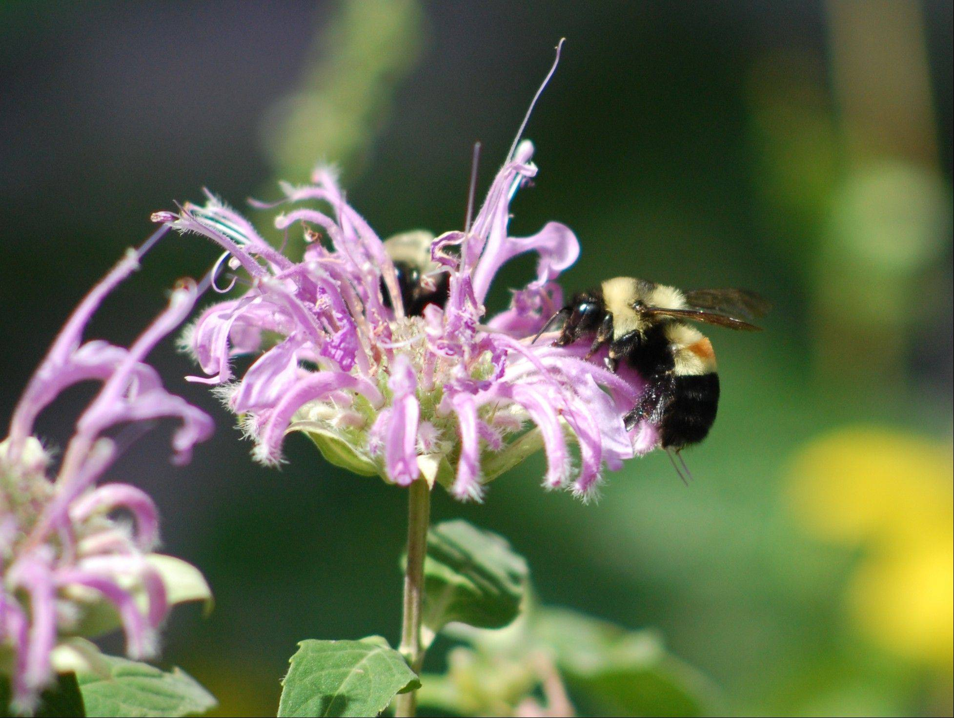 The photo provided by amateur Illinois bee spotter Johanna James-Heinz, shows a rusty-patched bumblebee, on Aug. 14, 2008, in Peoria. It is one of four types of bumblebees researchers say is in trouble.