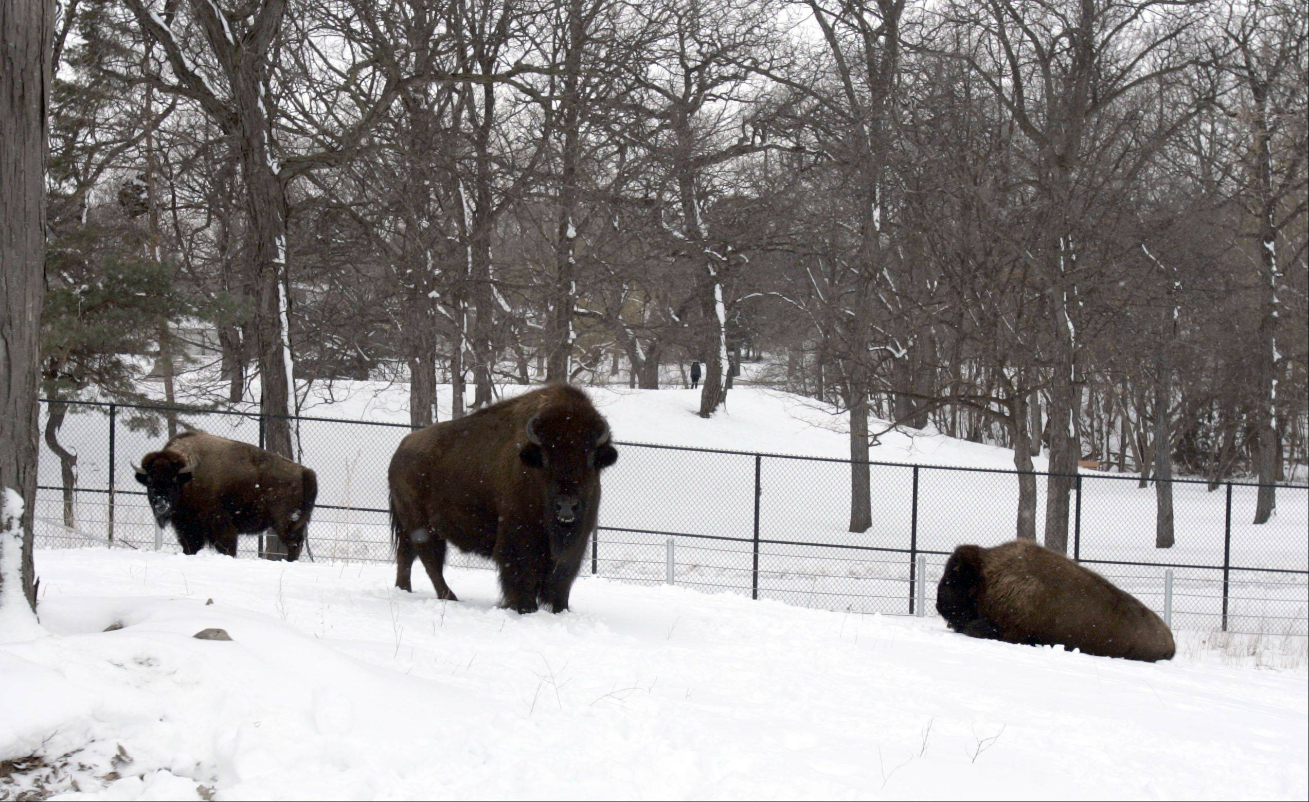Longtime Lord's Park Zoo bison Pokey, left, was joined this week by two new bison, Becky, middle, and Drew, who were donated by Brookfield Zoo. The newcomers have acclimated themselves well to their new home, Elgin Parks Superintendent Jim Bell said.
